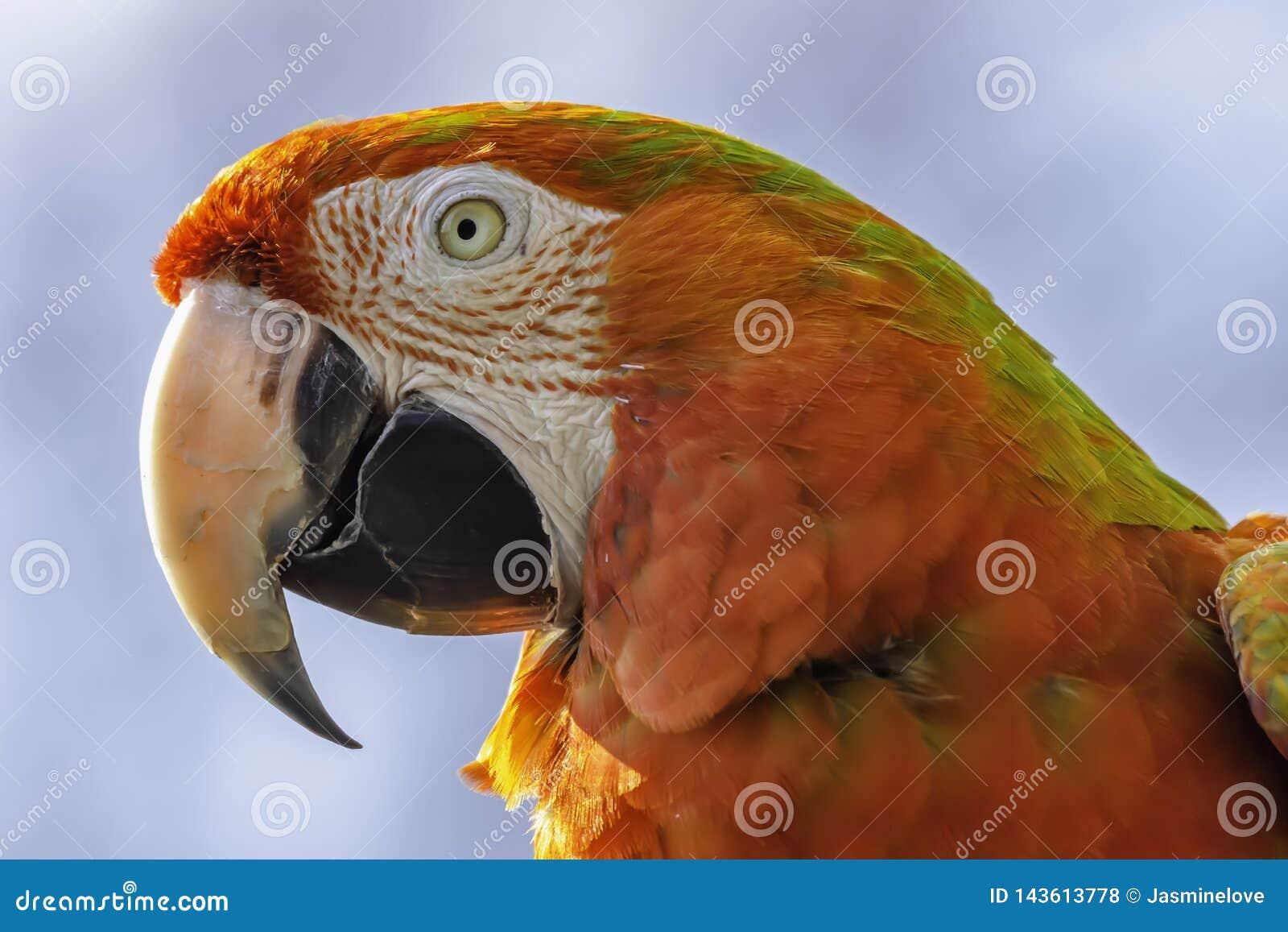Retrato ascendente cercano del perfil del loro rojo del macaw del escarlata Cabeza animal solamente