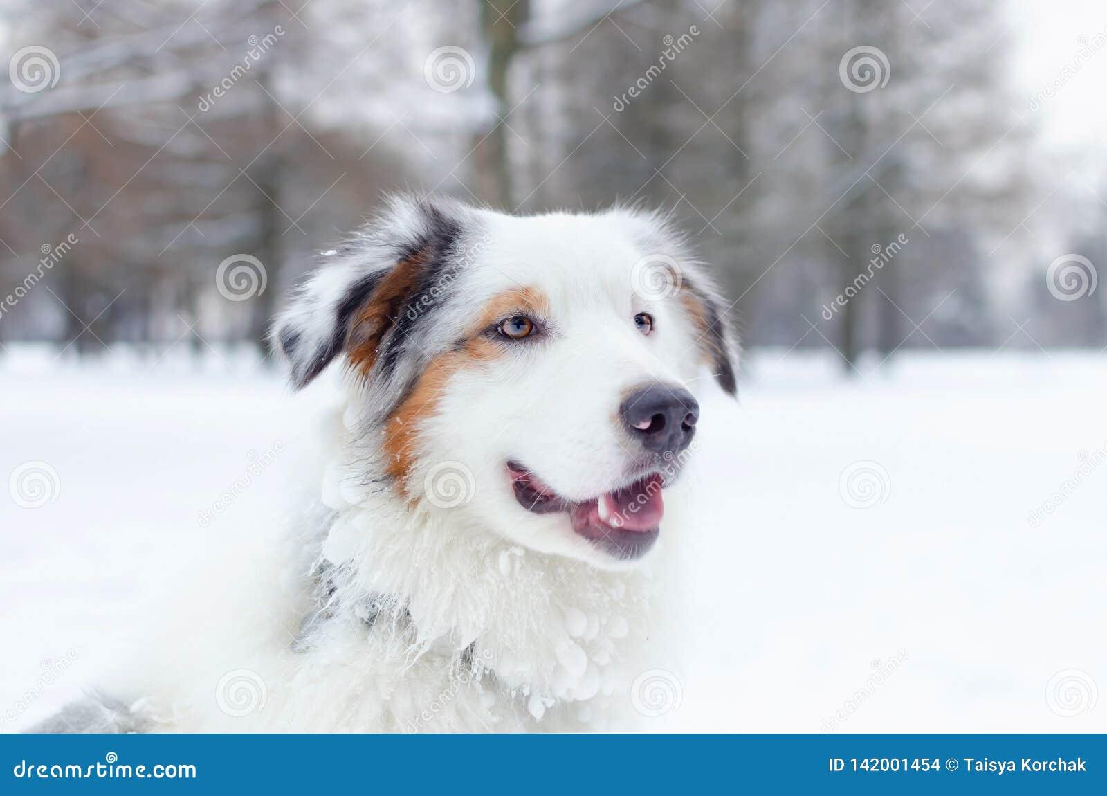 Retrato australiano del pastor Paseos enérgicos jovenes del perro