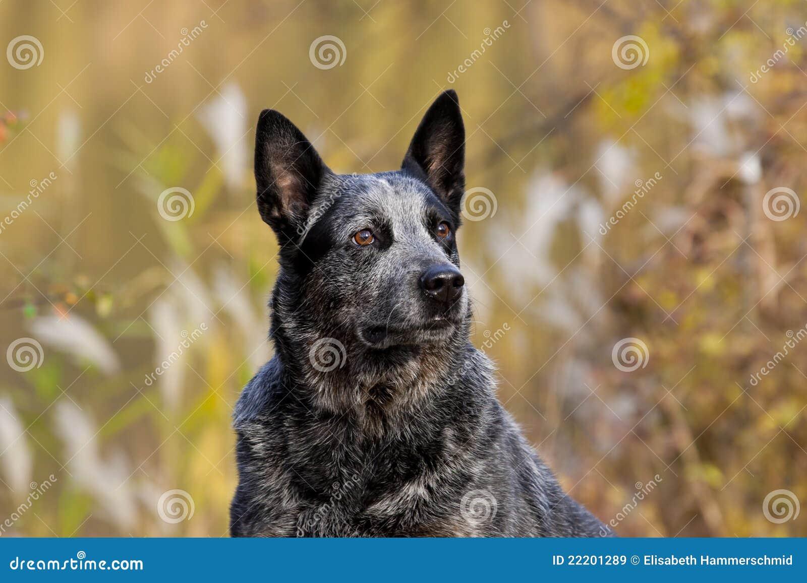 Retrato australiano del varón del perro del ganado