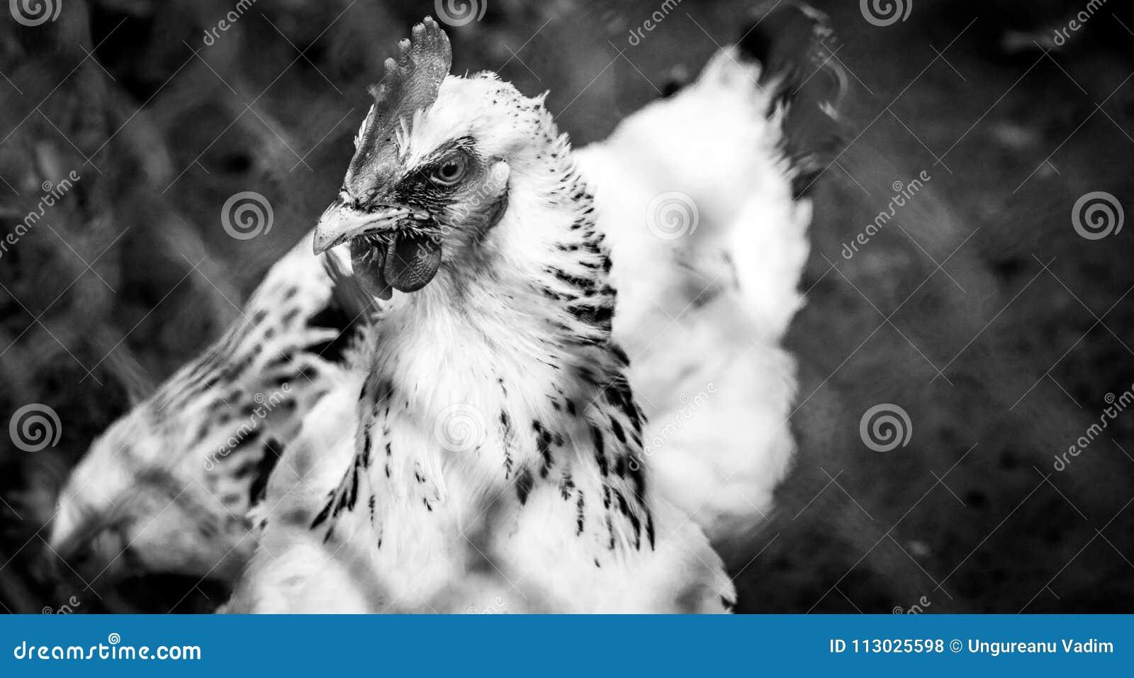 Retrato blanco y negro de un pollo