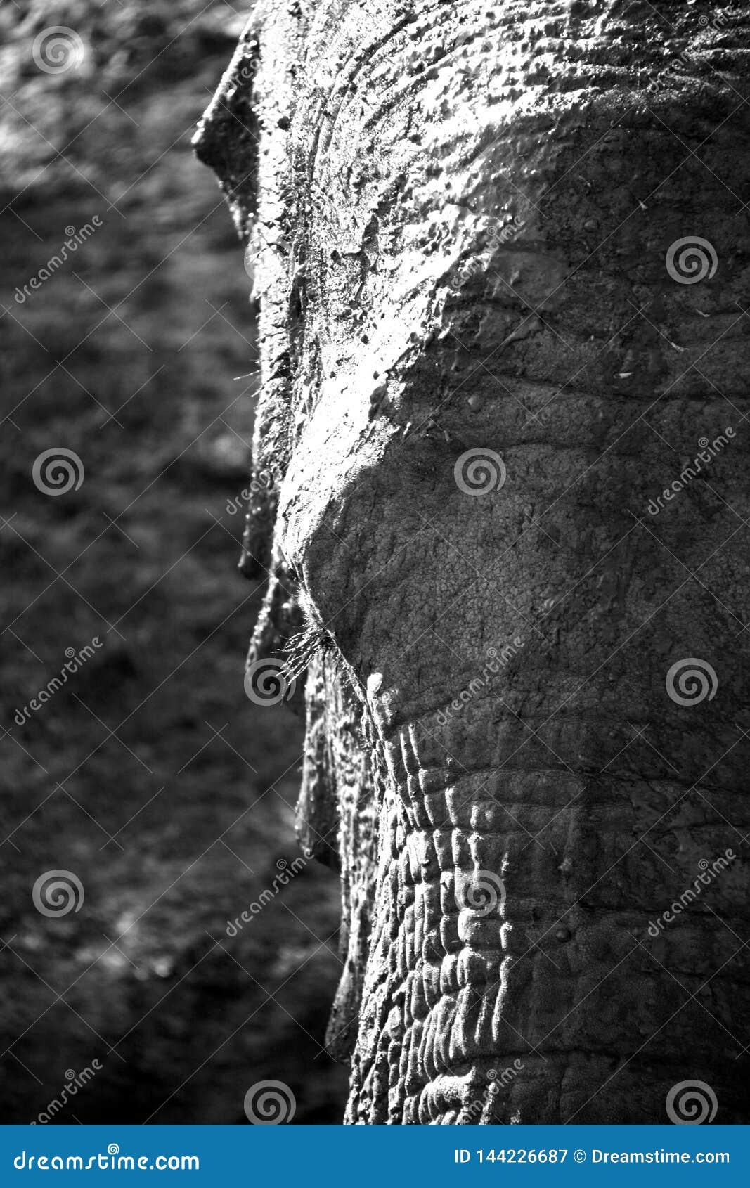 Retrato blanco y negro del elefante africano en alto contraste