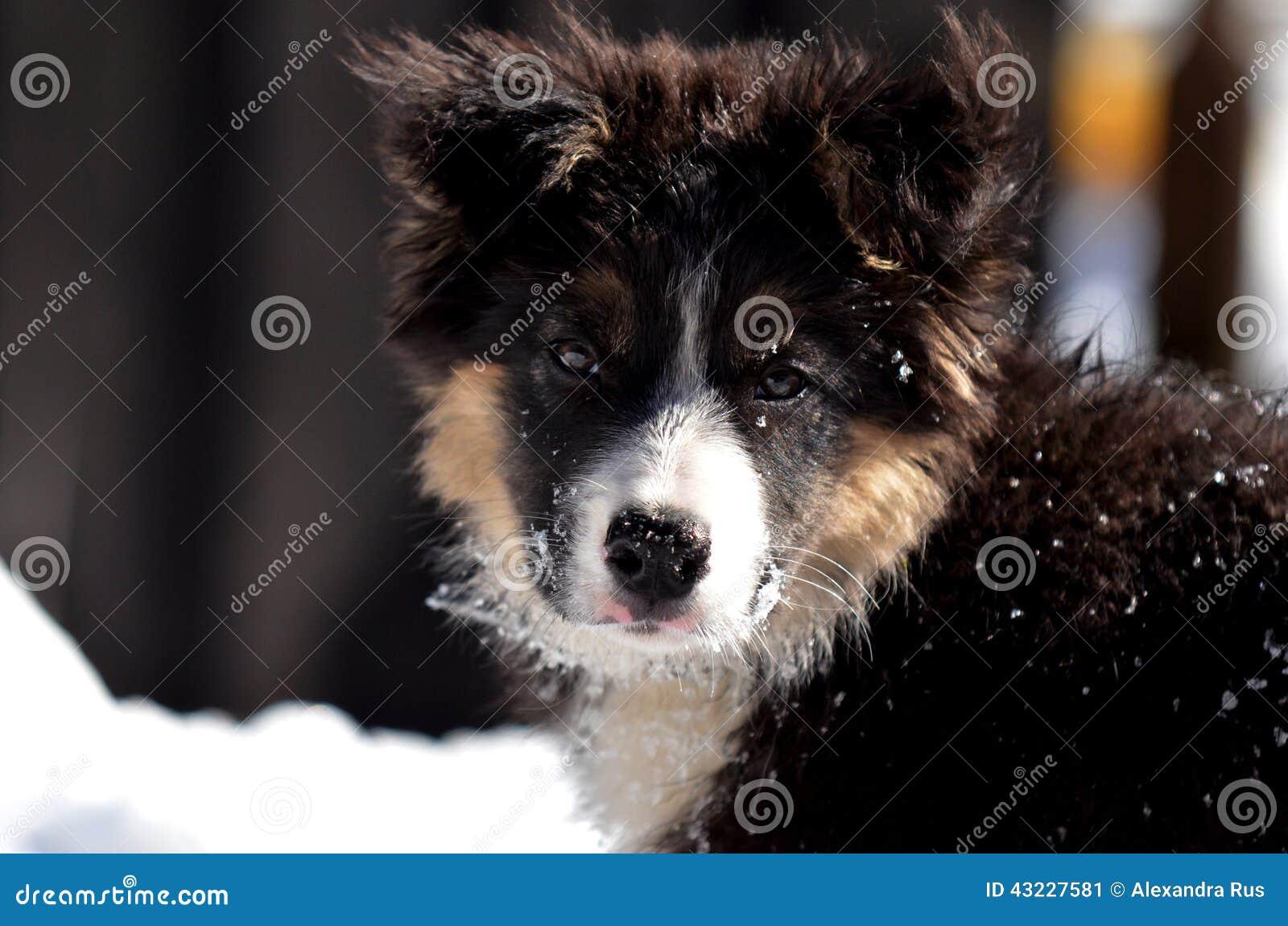 Retrato bonito do filhote de cachorro de border collie