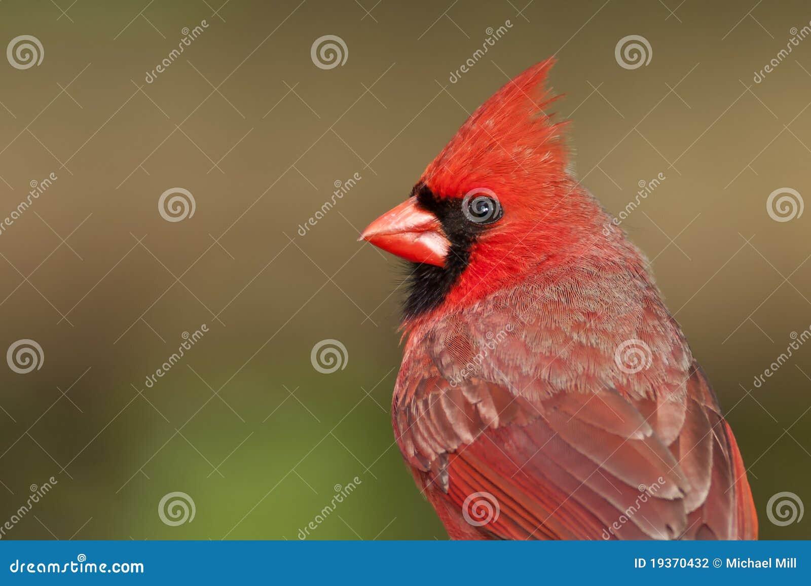 Retrato cardinal do norte
