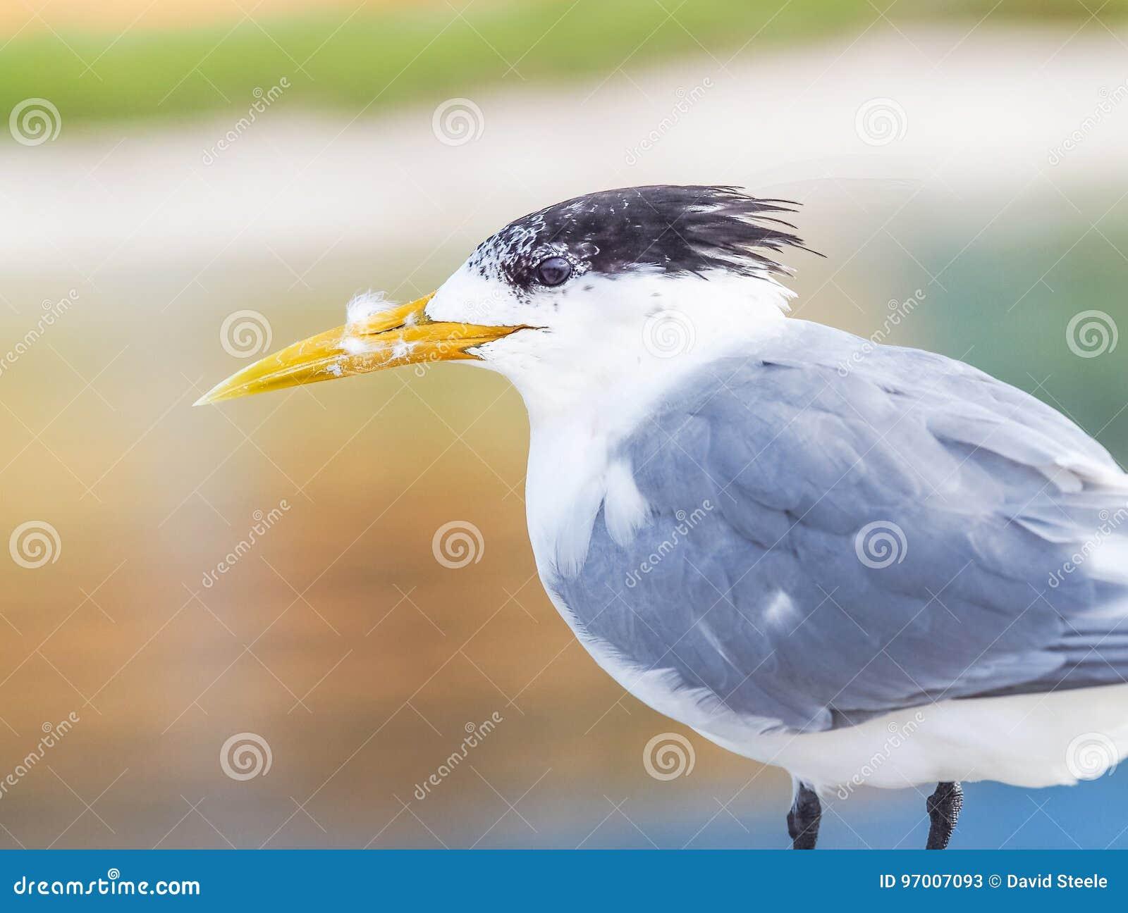 Retrato con cresta de la golondrina de mar