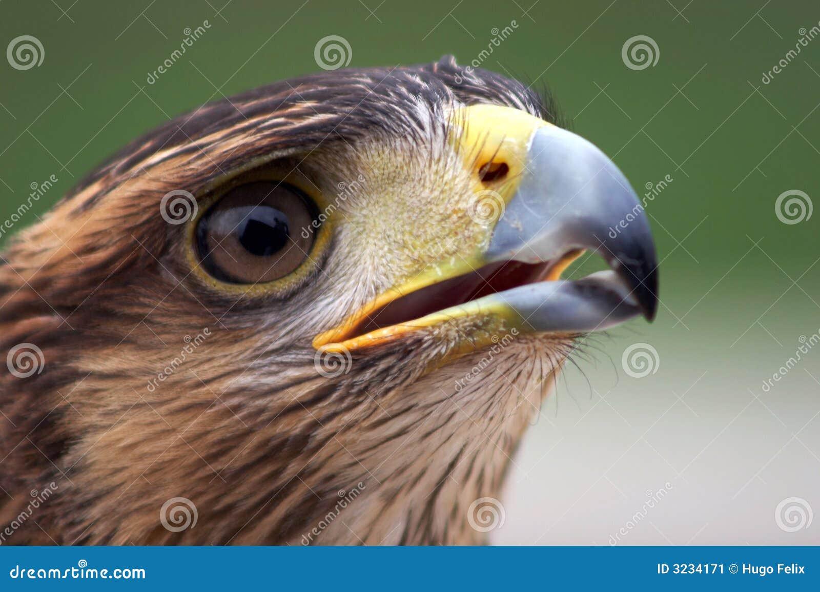 Retrato da águia