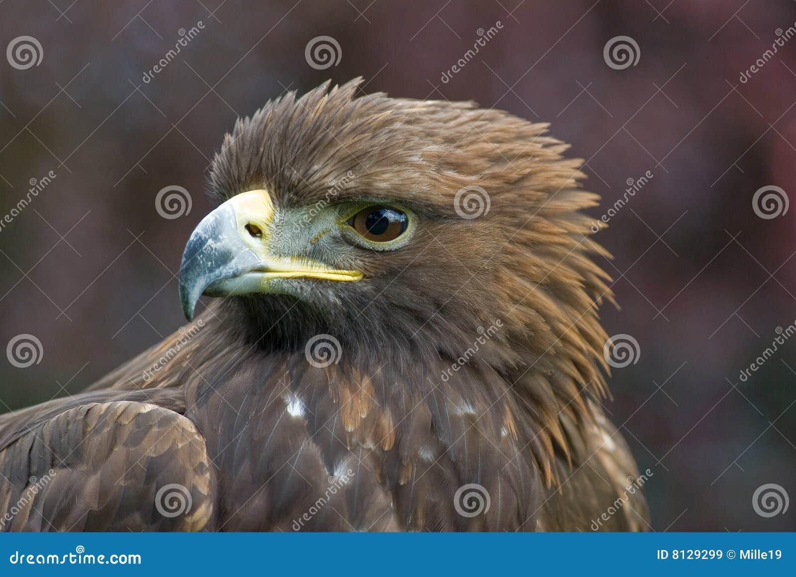 Retrato da águia dourada