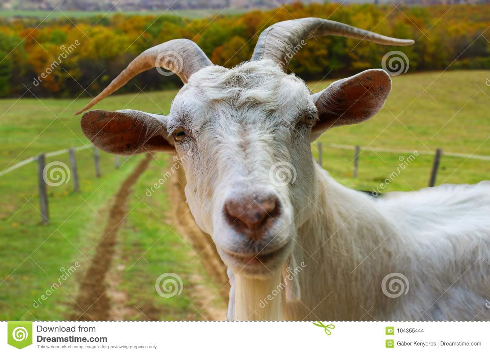 Retrato da cabra da exploração agrícola