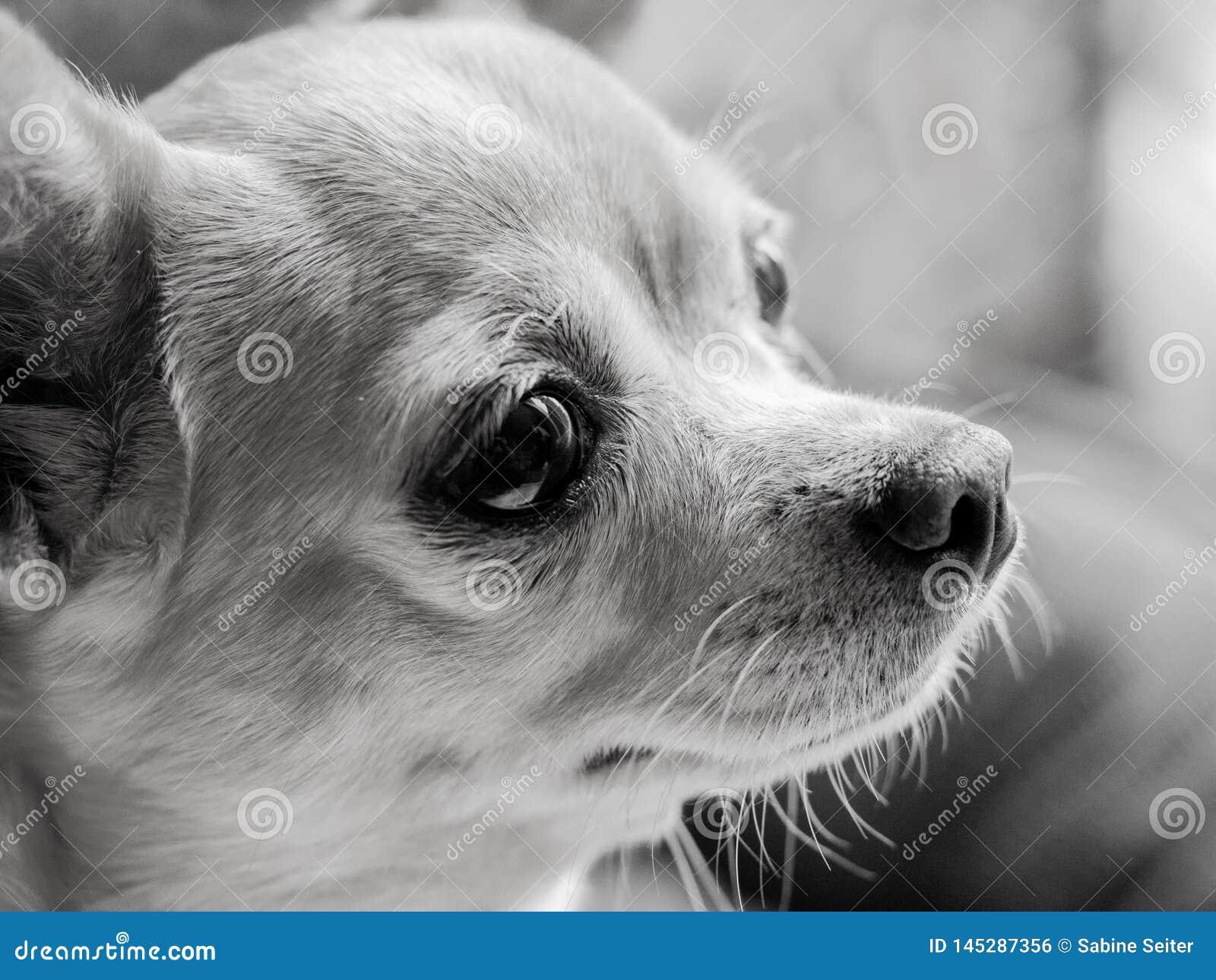 Retrato da chihuahua preto e branco