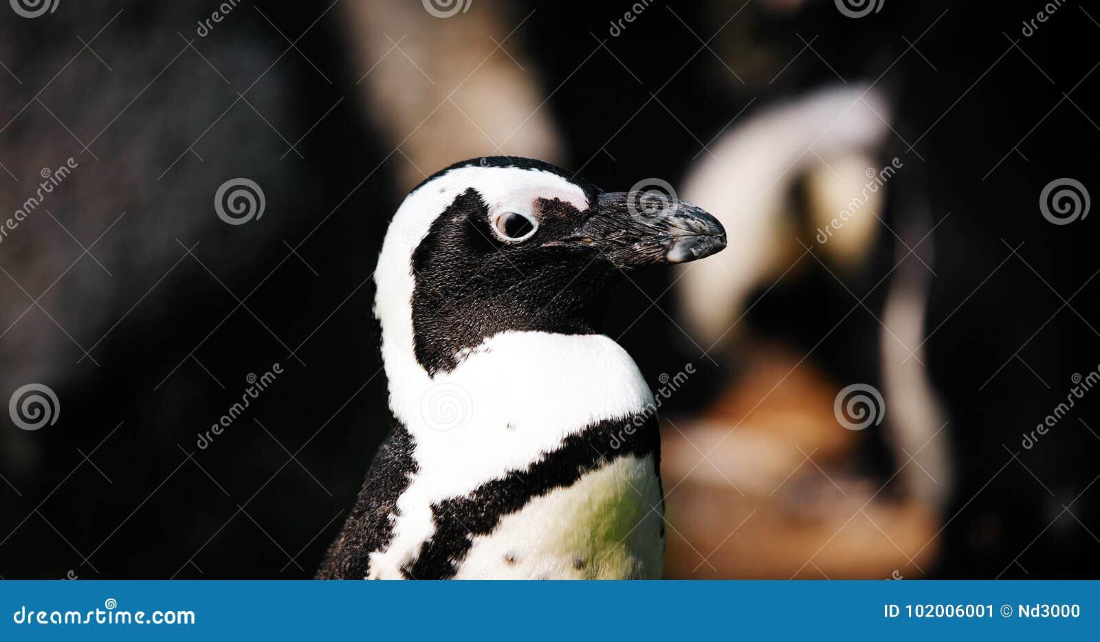 Retrato da opinião do close-up o pinguim antártico