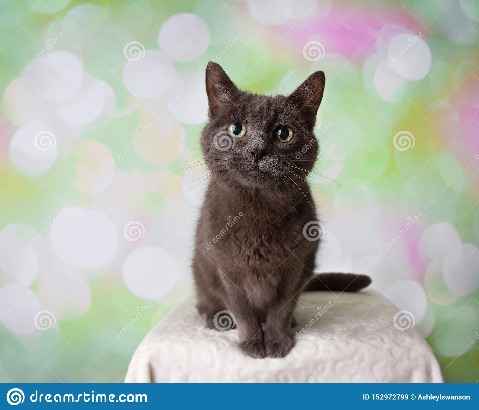 Retrato de assento de Grey Russian Blue Breed Cat