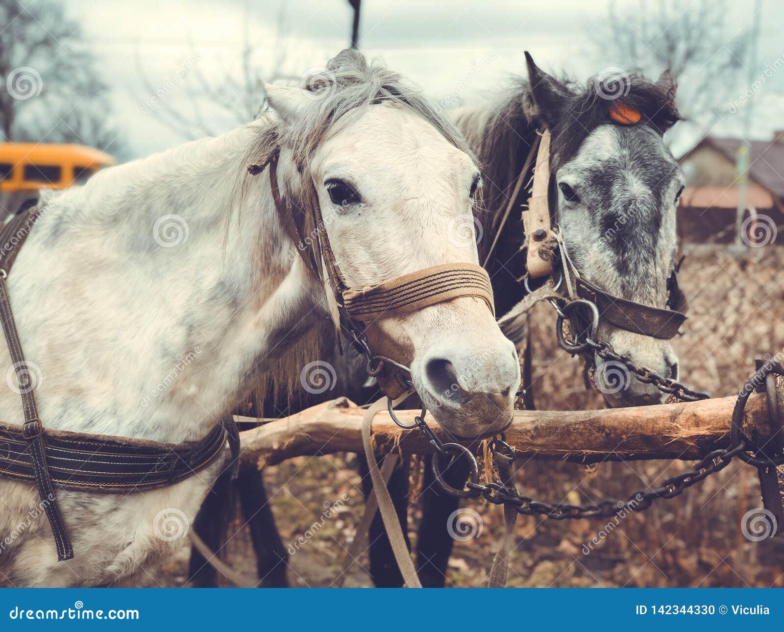 Retrato de dois cavalos no close-up do perfil