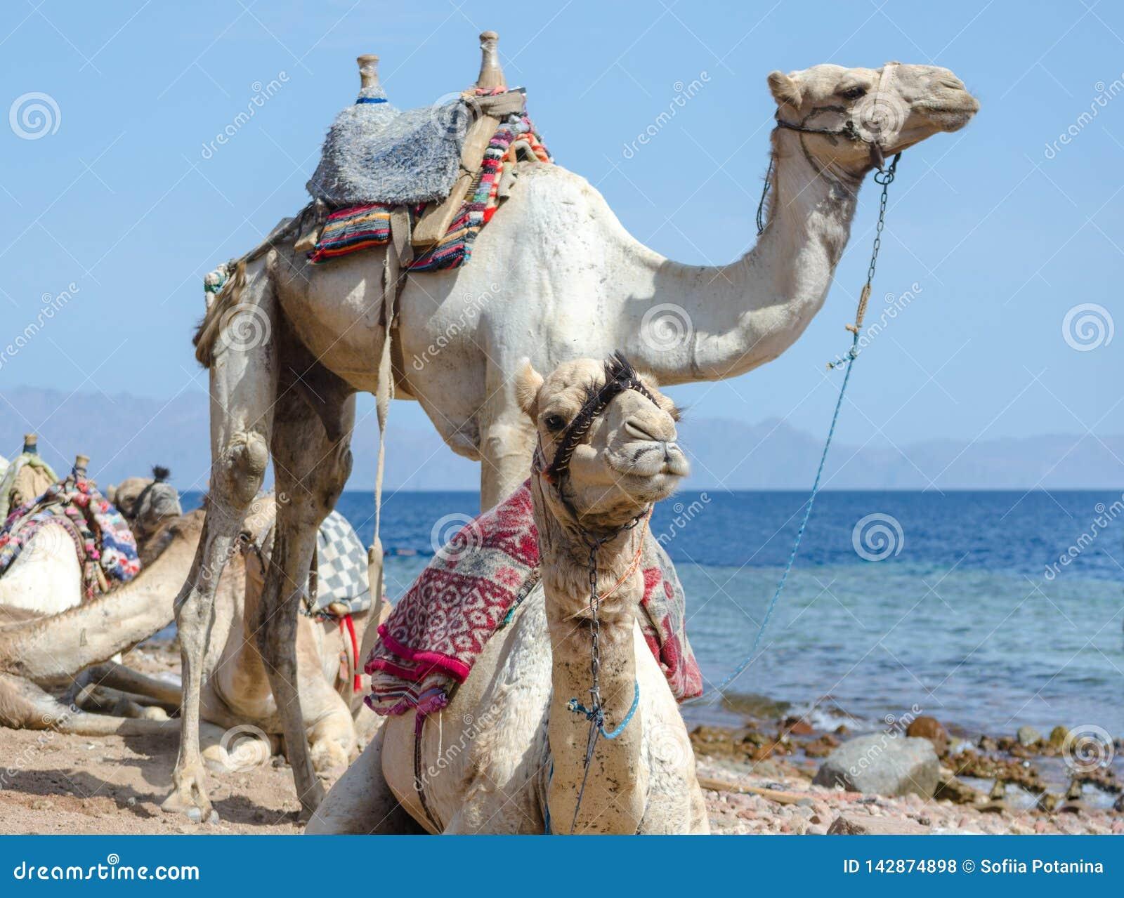 Retrato de dos camellos en la costa del mar en Egipto Dahab Sinaí del sur