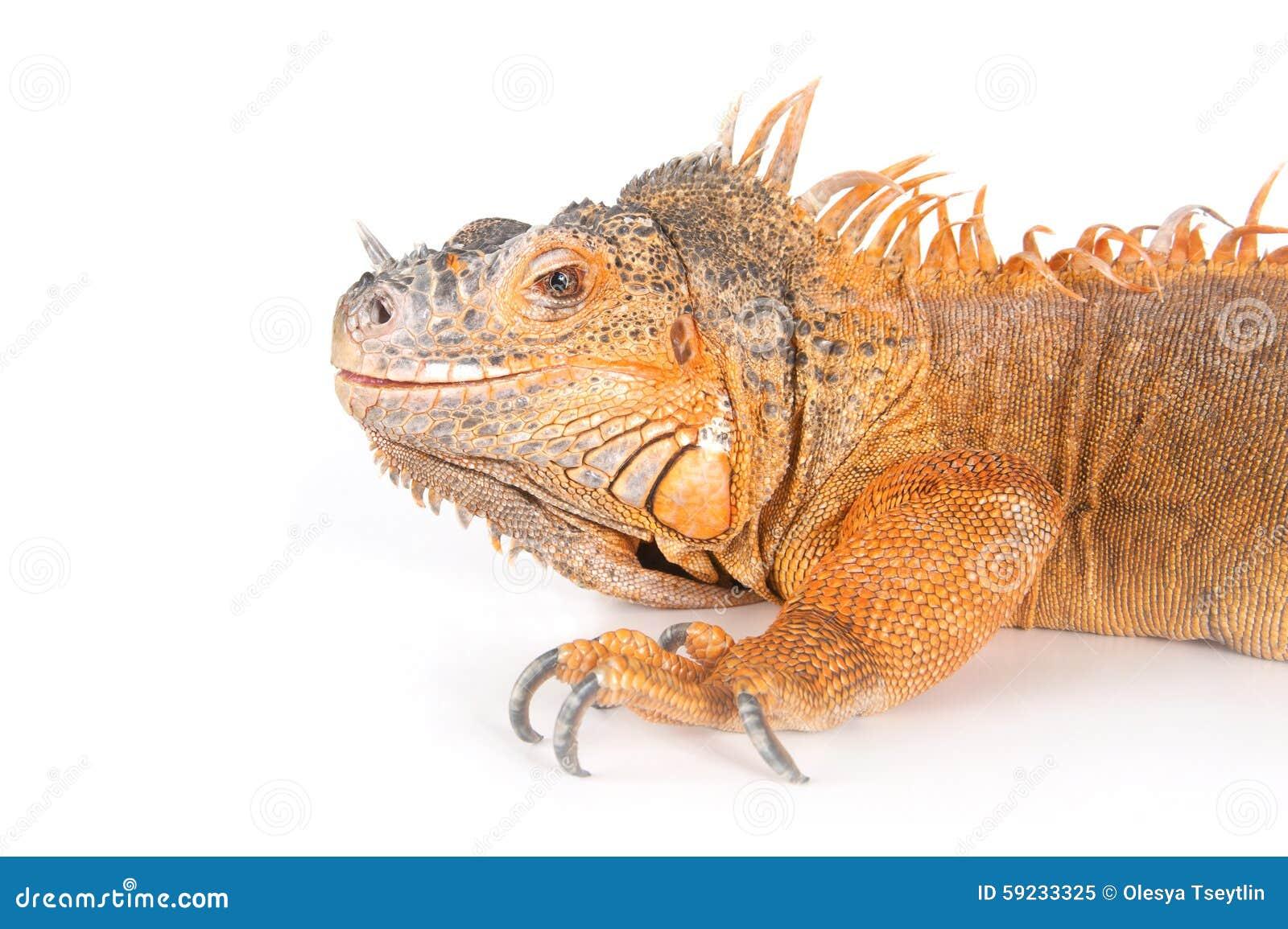 Download Retrato De Iguanas Ordinarias (el Rojo Morph) Imagen de archivo - Imagen de mirada, animal: 59233325