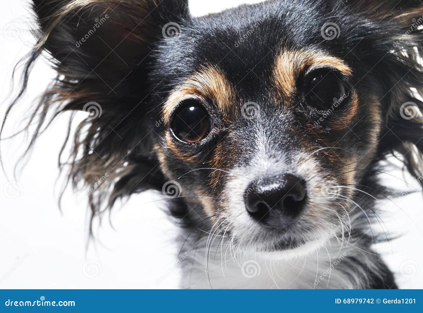 Retrato de la foto de la cara del perro aislado en el fondo blanco