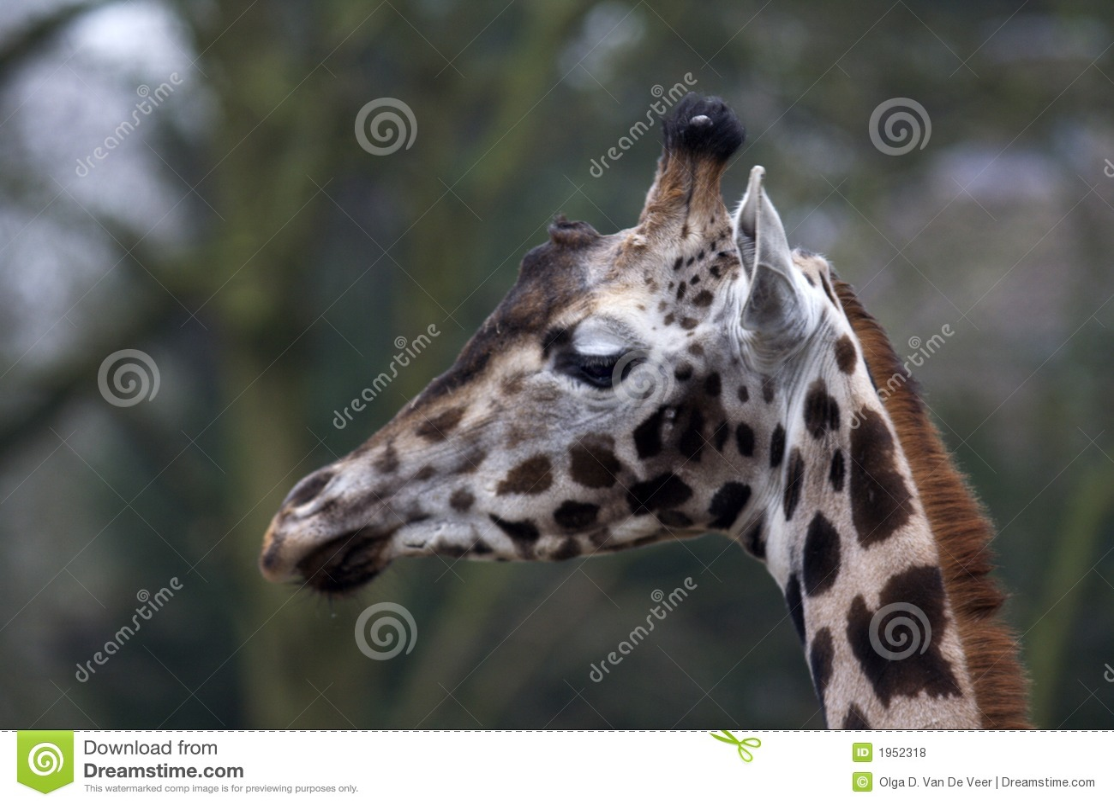 Retrato de la jirafa