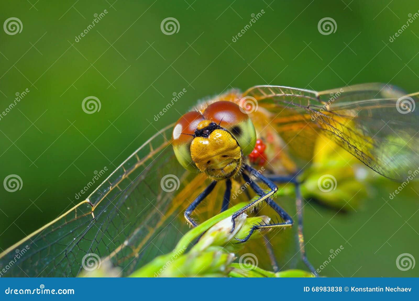 Retrato de la libélula en fondo verde