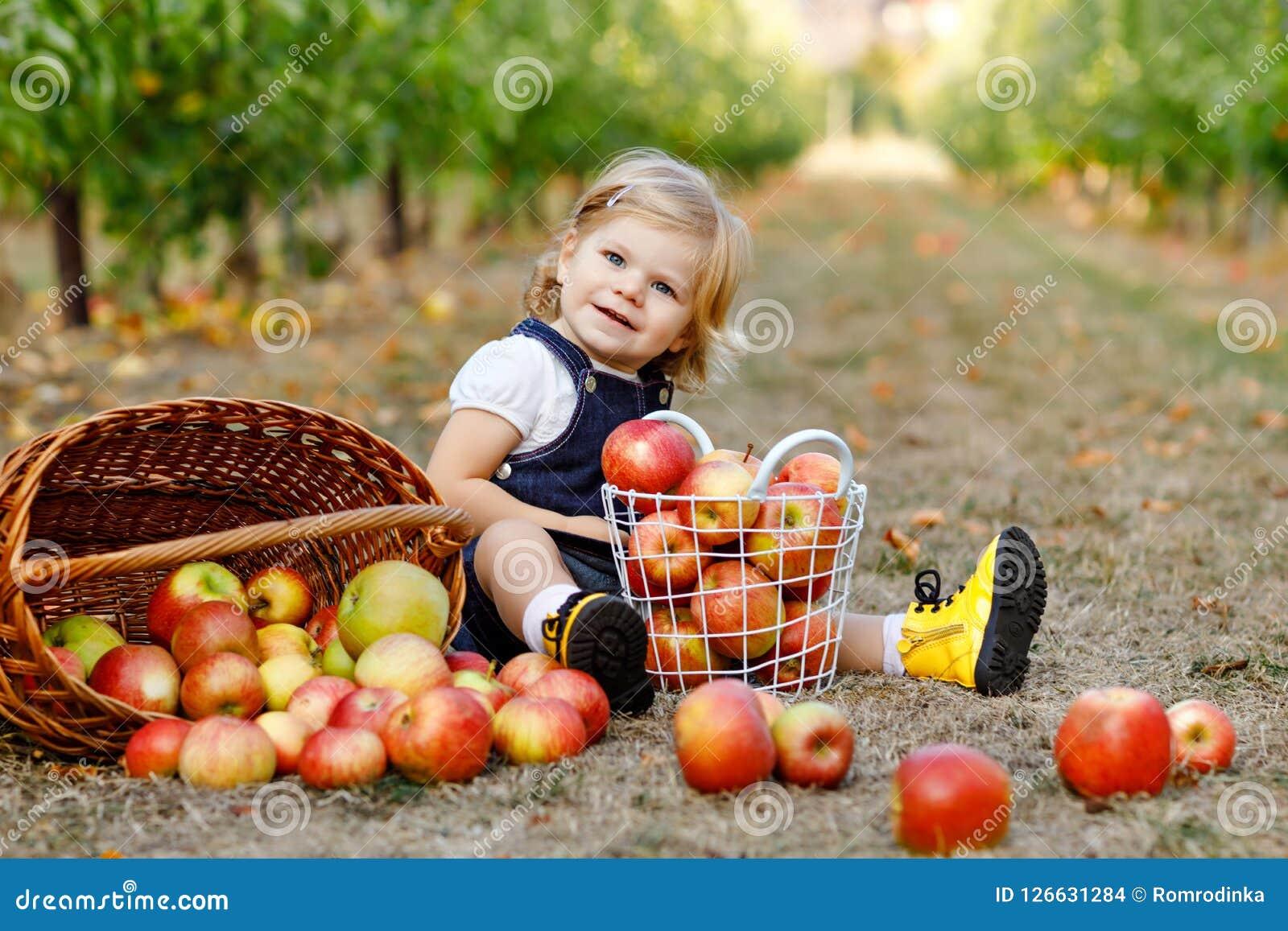 Retrato de la pequeña niña pequeña con las manzanas rojas en huerta  orgánica Niño sano feliz adorable del bebé que escoge las frutas maduras  frescas de ...