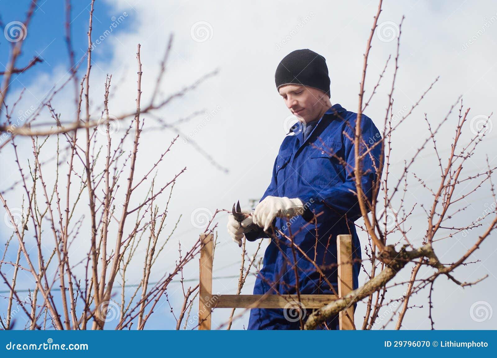 Brunches del albaricoque de la poda del hombre joven - Poda del cerezo joven ...