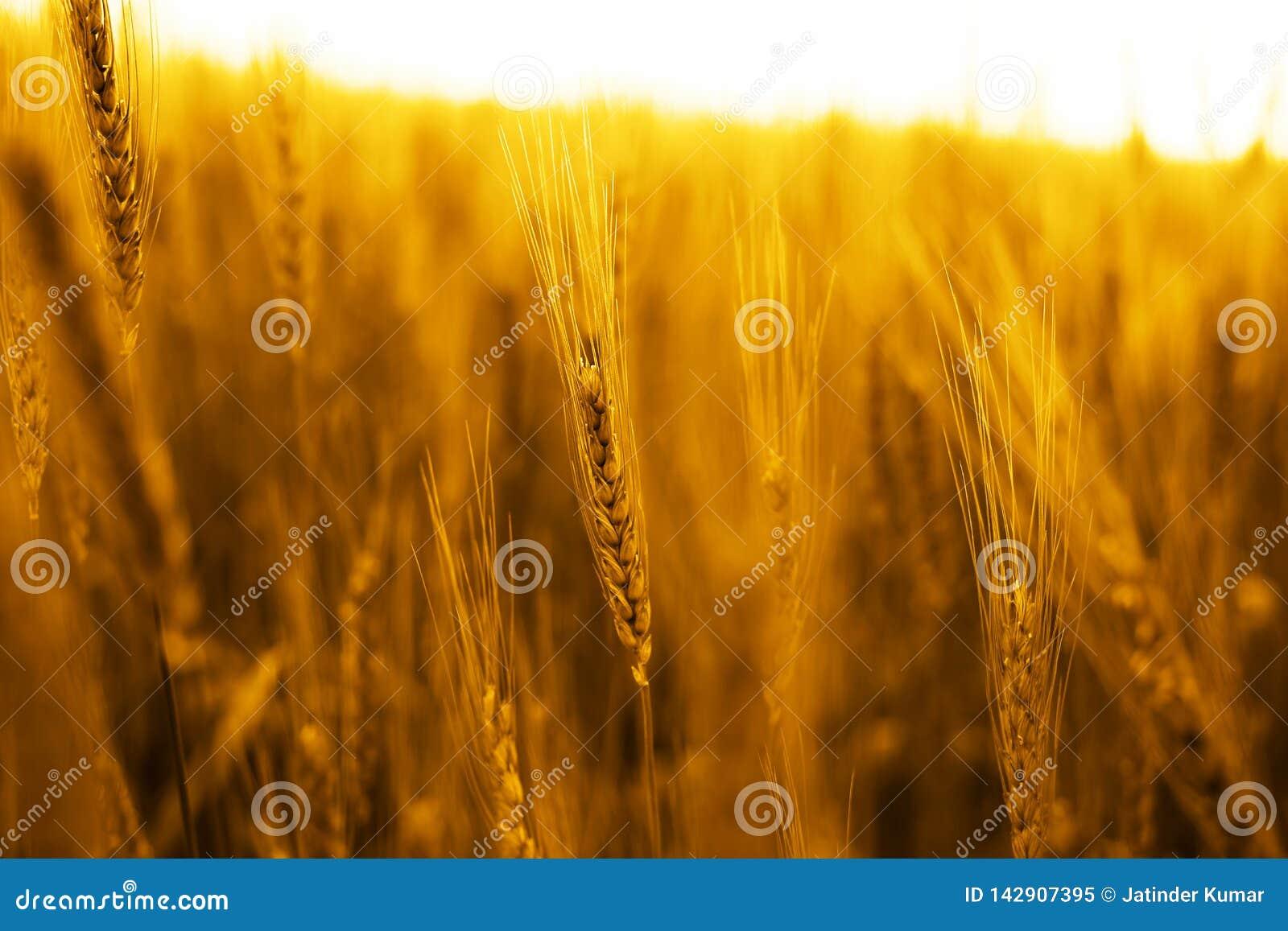 Retrato de los campos de trigo de oro