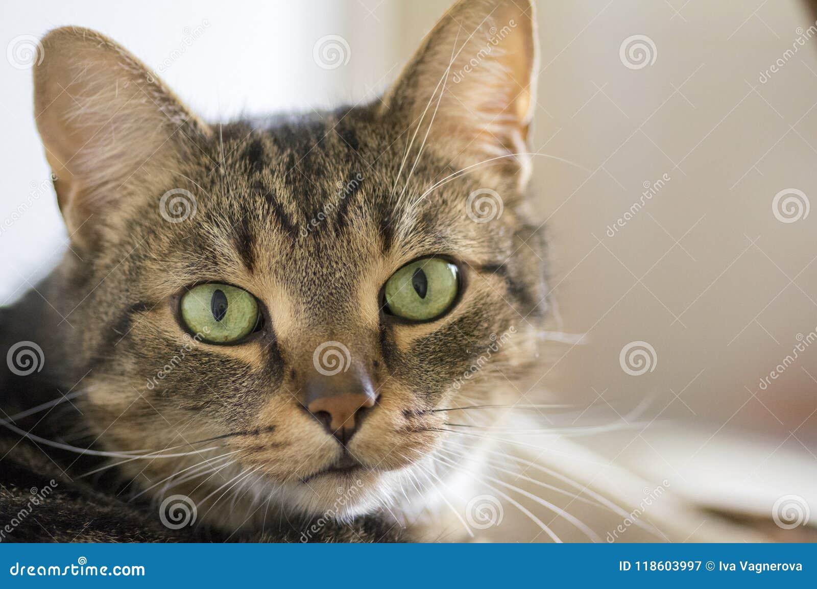 Retrato de mármol nacional del gato, contacto visual, cara linda del gatito