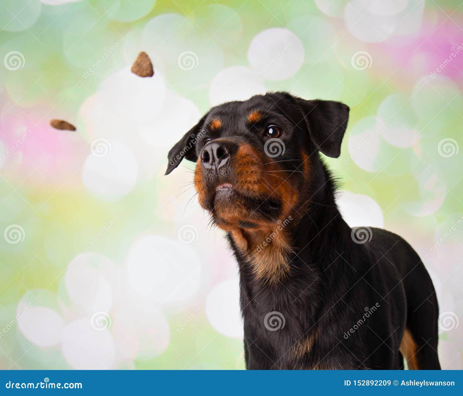 Retrato de Rottweiler em deleites de travamento do estúdio