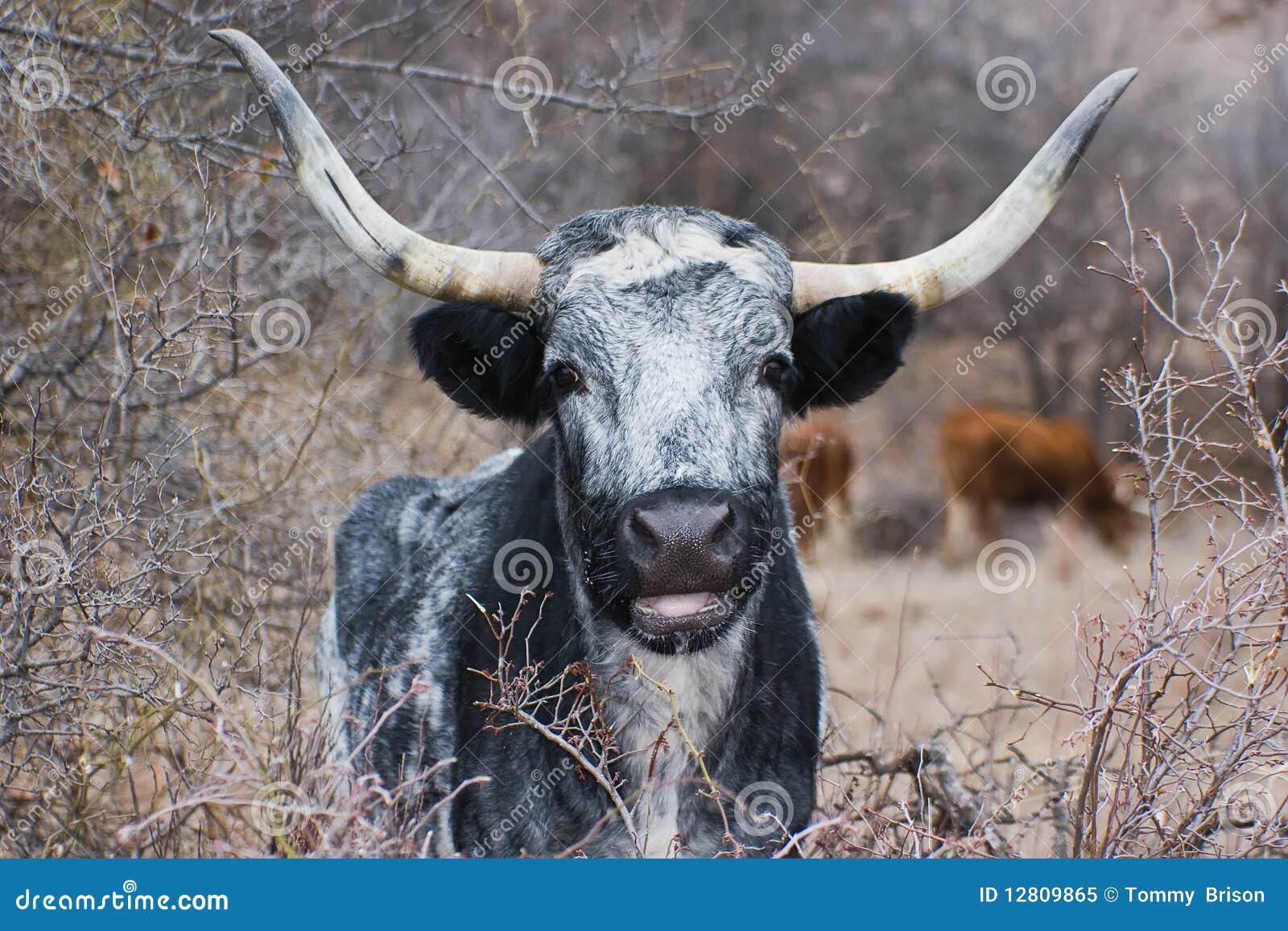 Retrato de Texas Longhorn