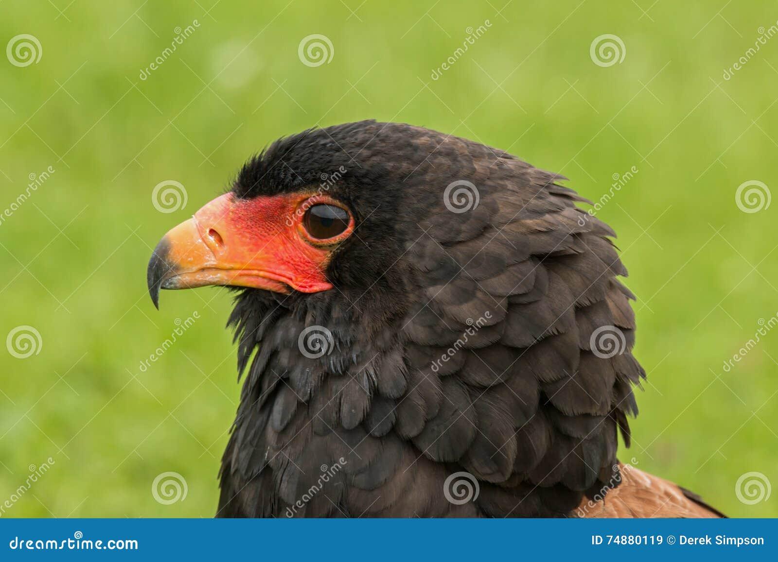 Retrato de um Bateleur Eagle