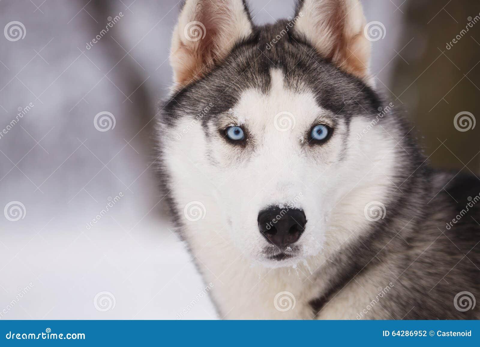 Retrato de um cão de puxar trenós