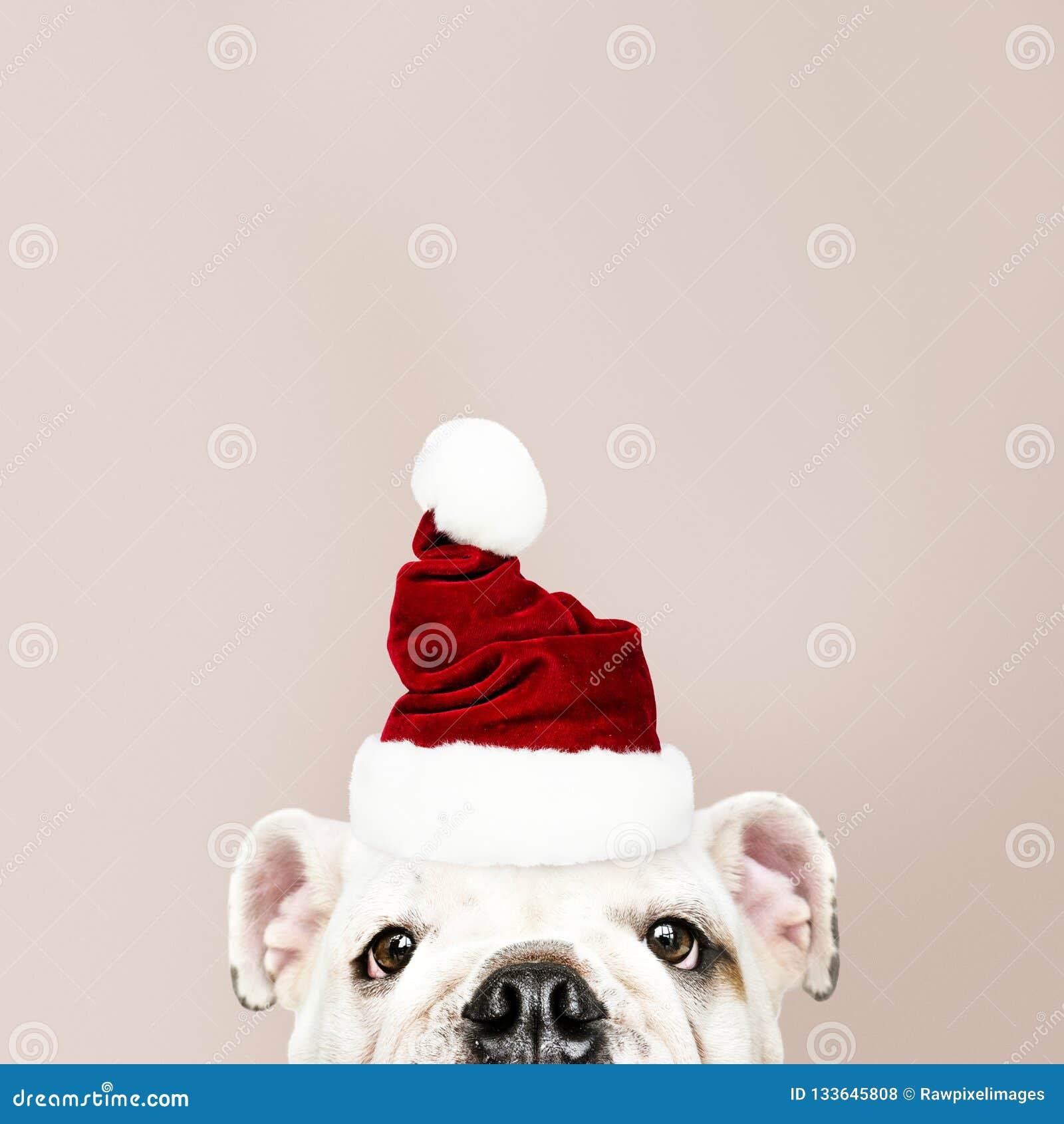 Retrato de um cachorrinho bonito do buldogue que veste um chapéu de Santa