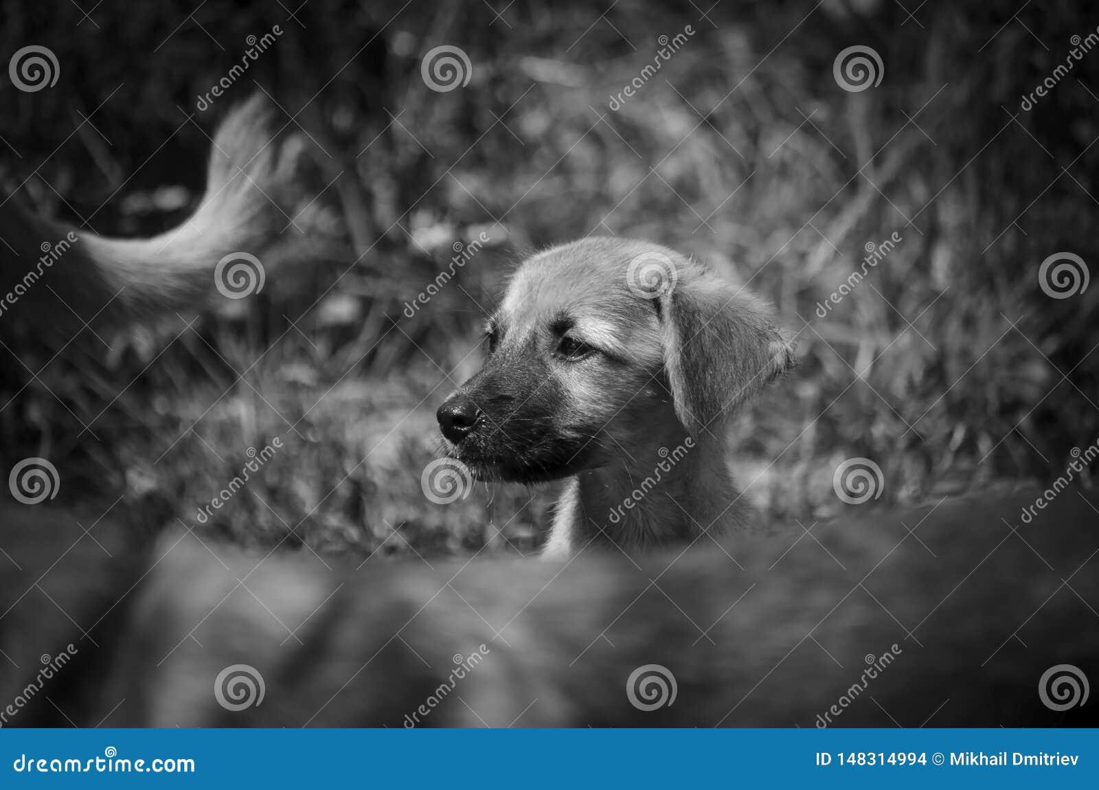 Retrato de um cachorrinho desabrigado pequeno Cabe?a grande monocrom?tico