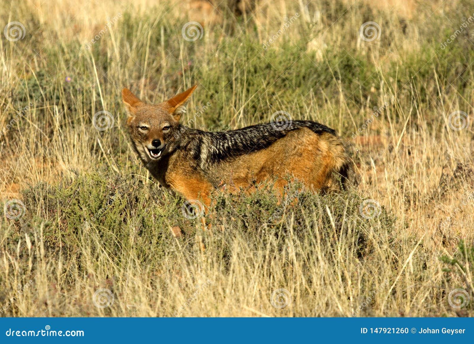 Retrato de um chacal com o dorso negro em um sul - reserva nacional africana do jogo