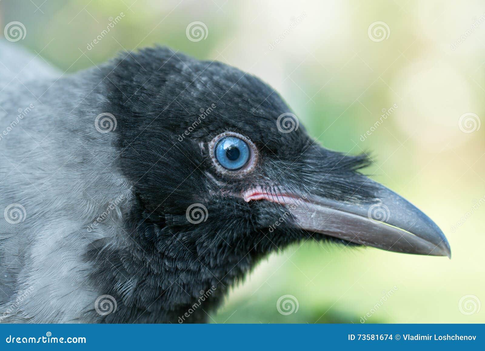 Retrato de um corvo cinzento