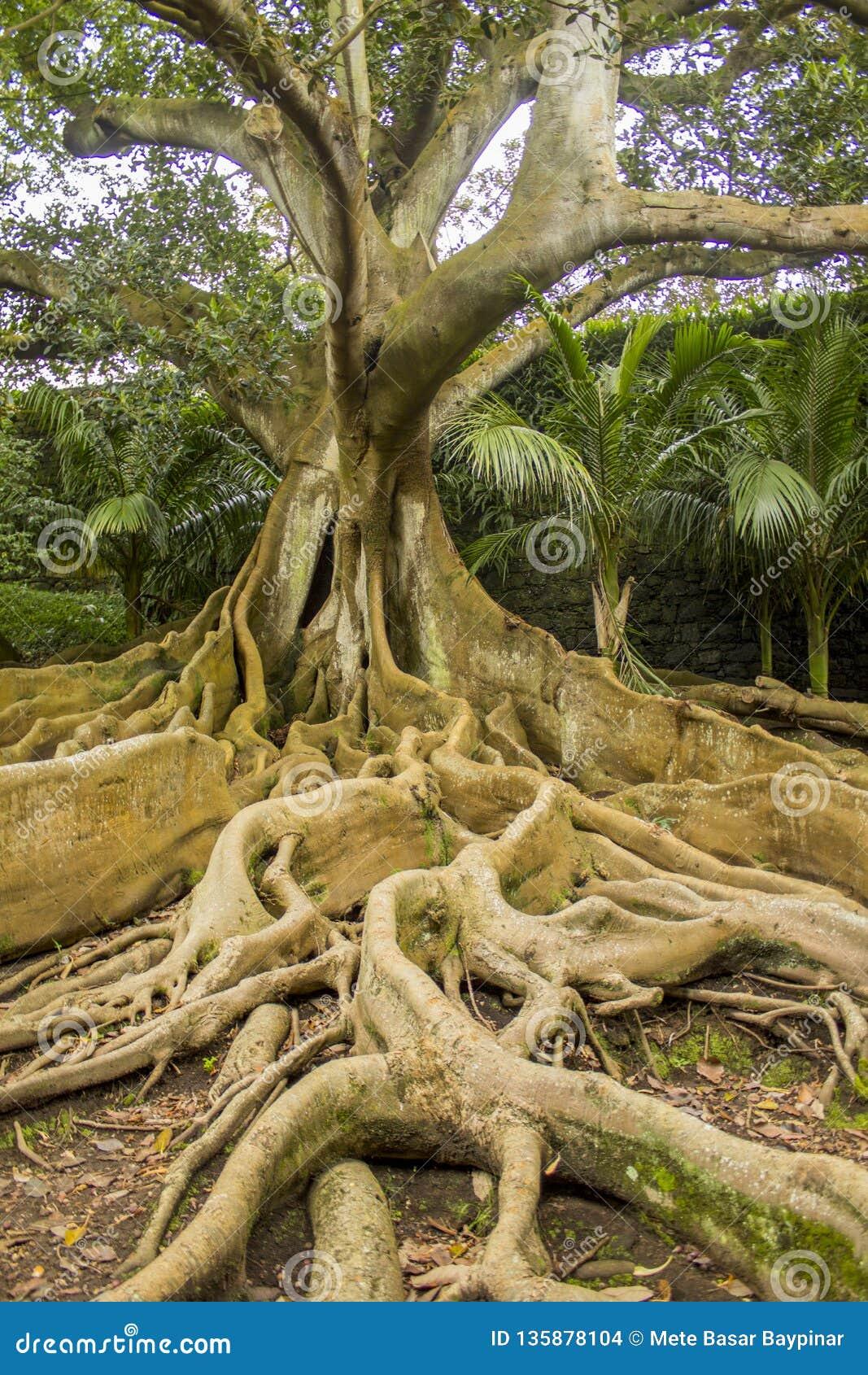 Retrato de um figo poderoso da baía de Moreton com suas raizes gigantes no primeiro plano