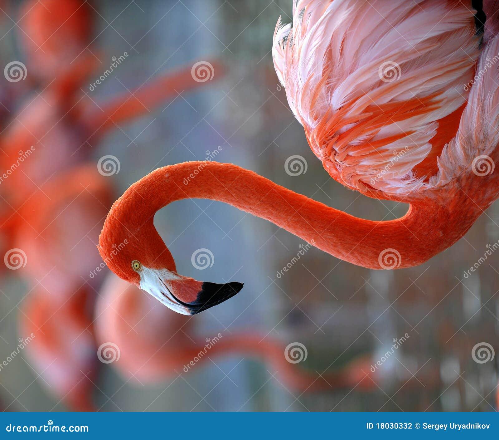 Retrato de um flamingo.