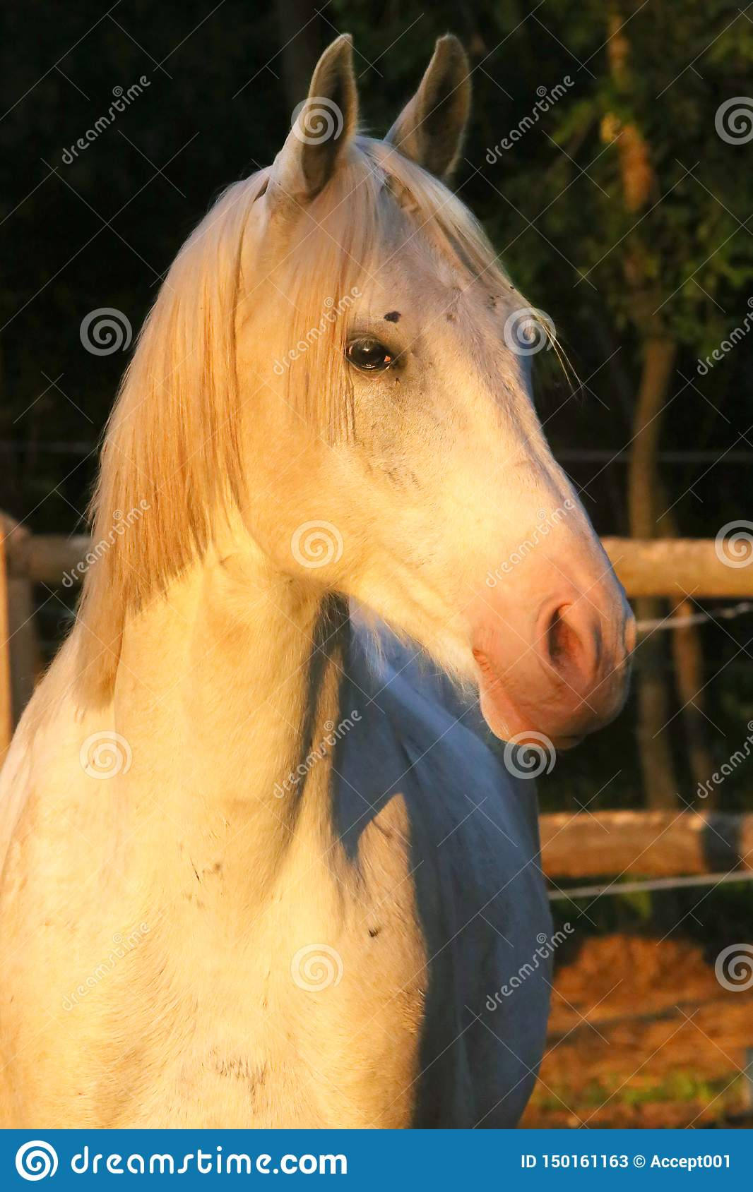 Retrato de um garanhão árabe cinzento do puro-sangue Close up de um cavalo novo do puro-sangue Cavalo árabe do shagya novo do pur
