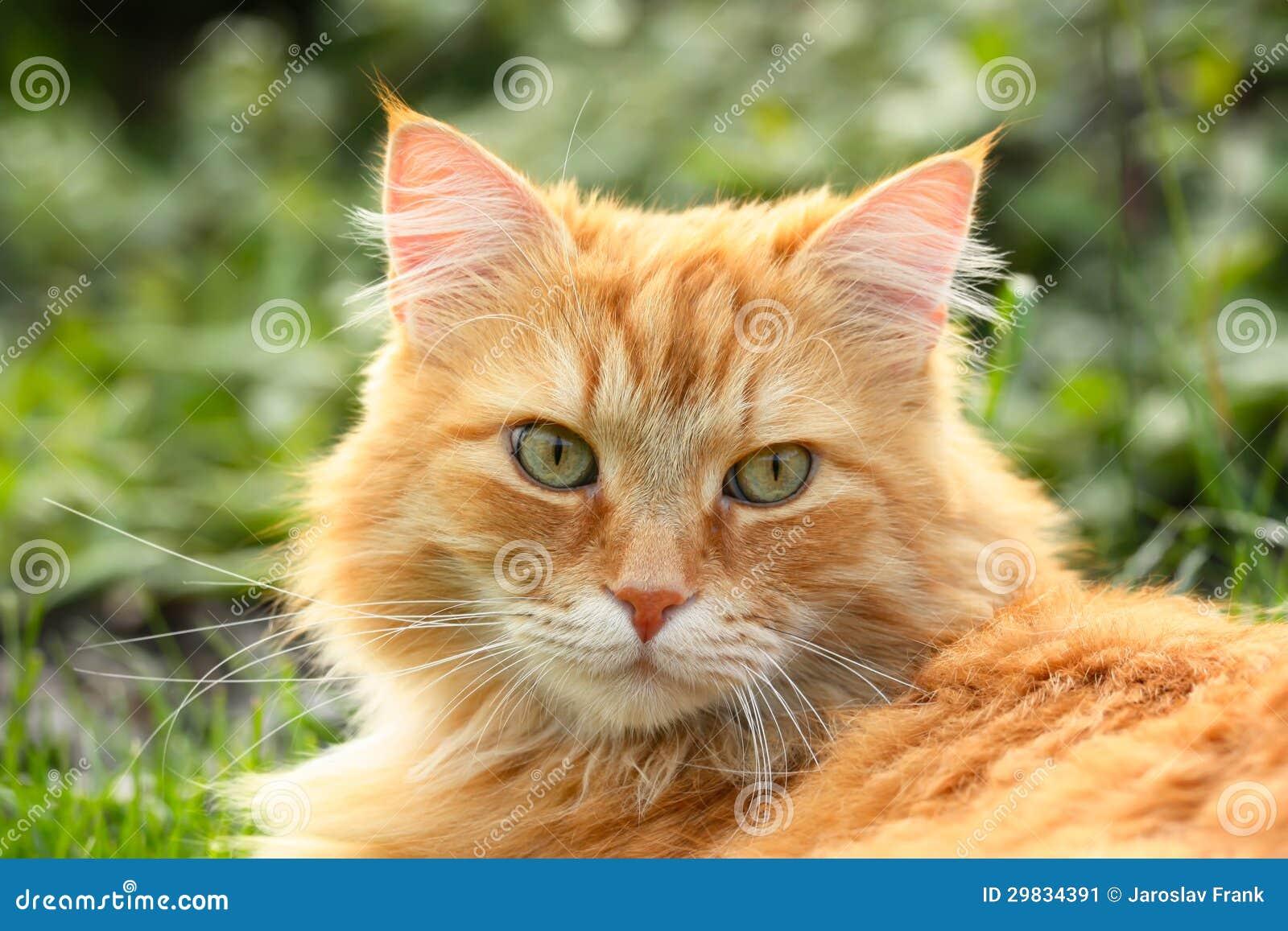 Retrato de um gato bonito do gengibre
