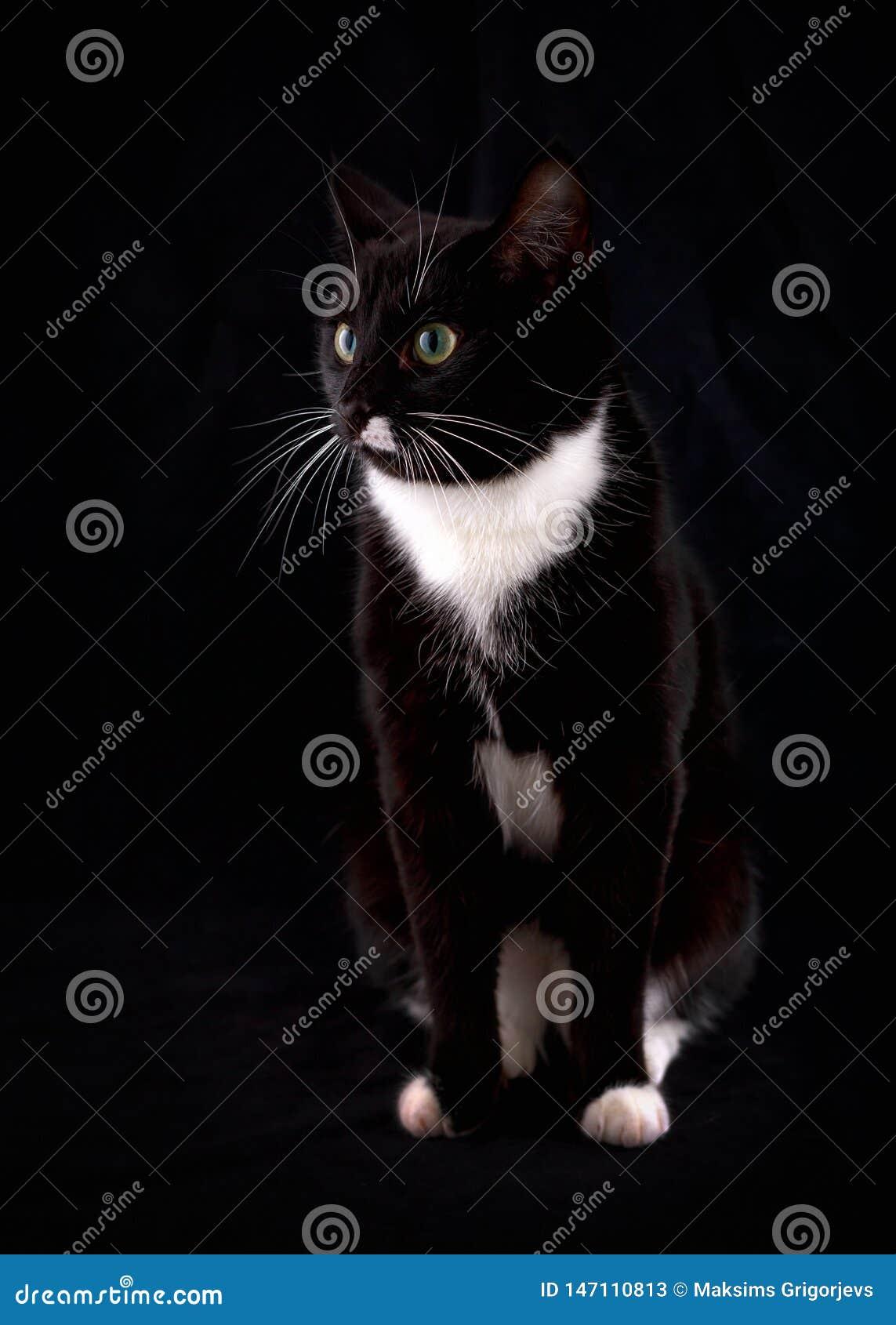 Retrato de um gato preto com olhos verdes e um jab? branco