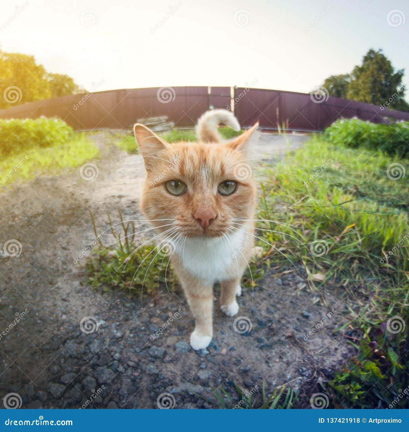 Retrato de um gato vermelho fora na vila close-up, lente de fisheye da perspectiva da distorção