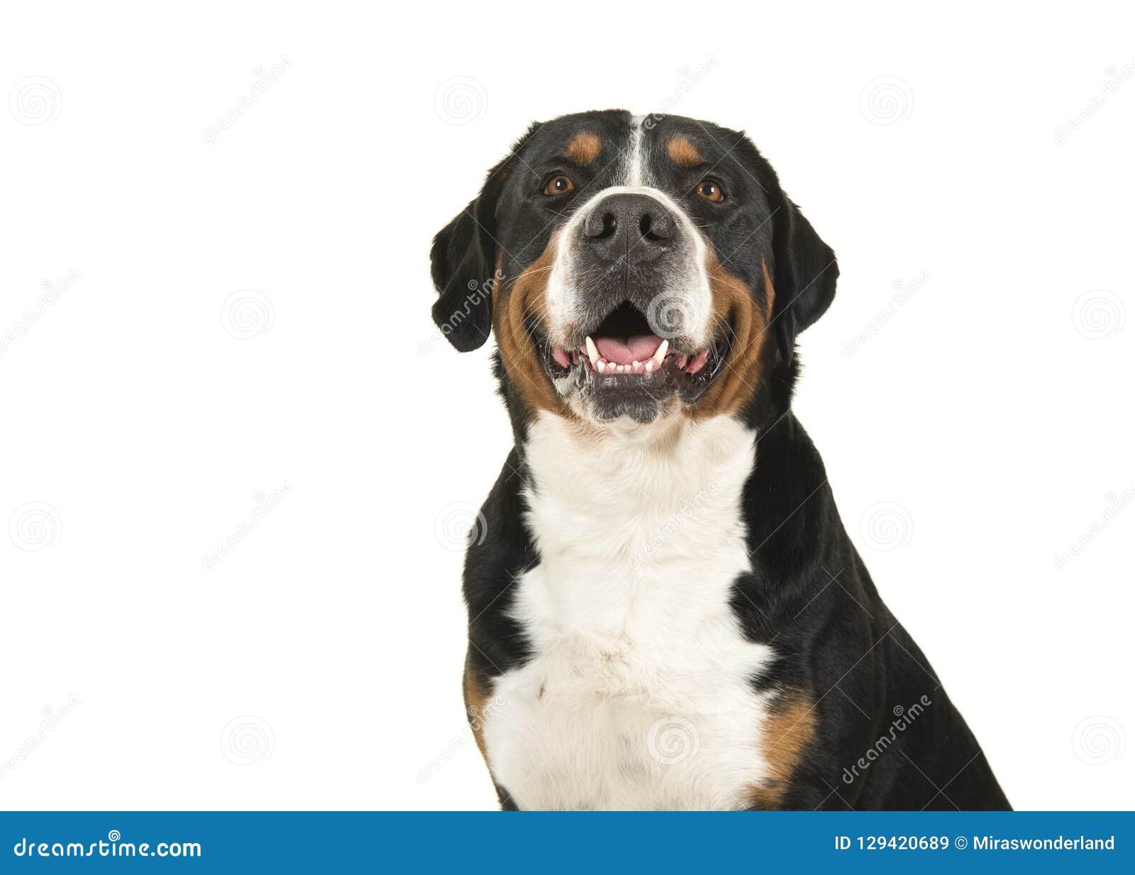 Retrato de um grande cão suíço da montanha em um gabinete branco do fundo