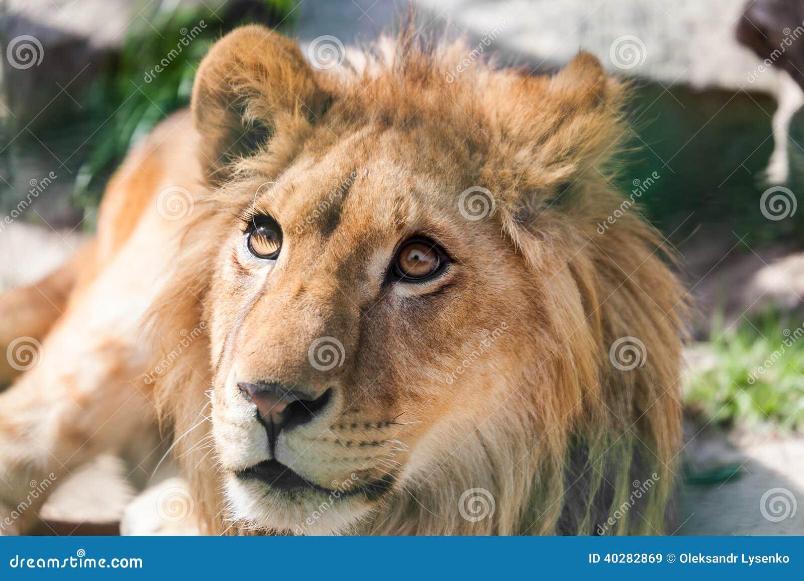 Retrato de um leão novo