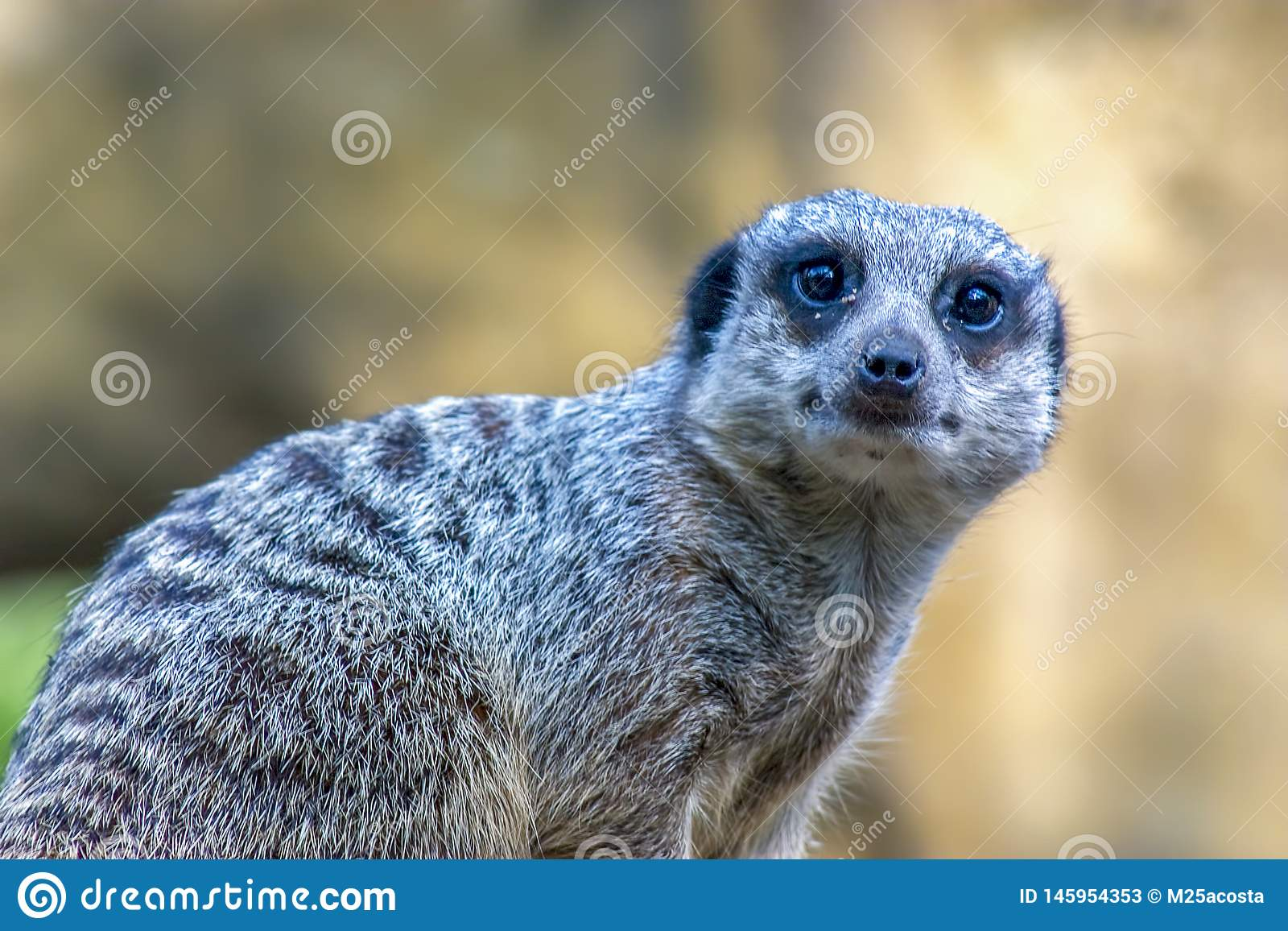 Retrato de um meerkat que olha curioso