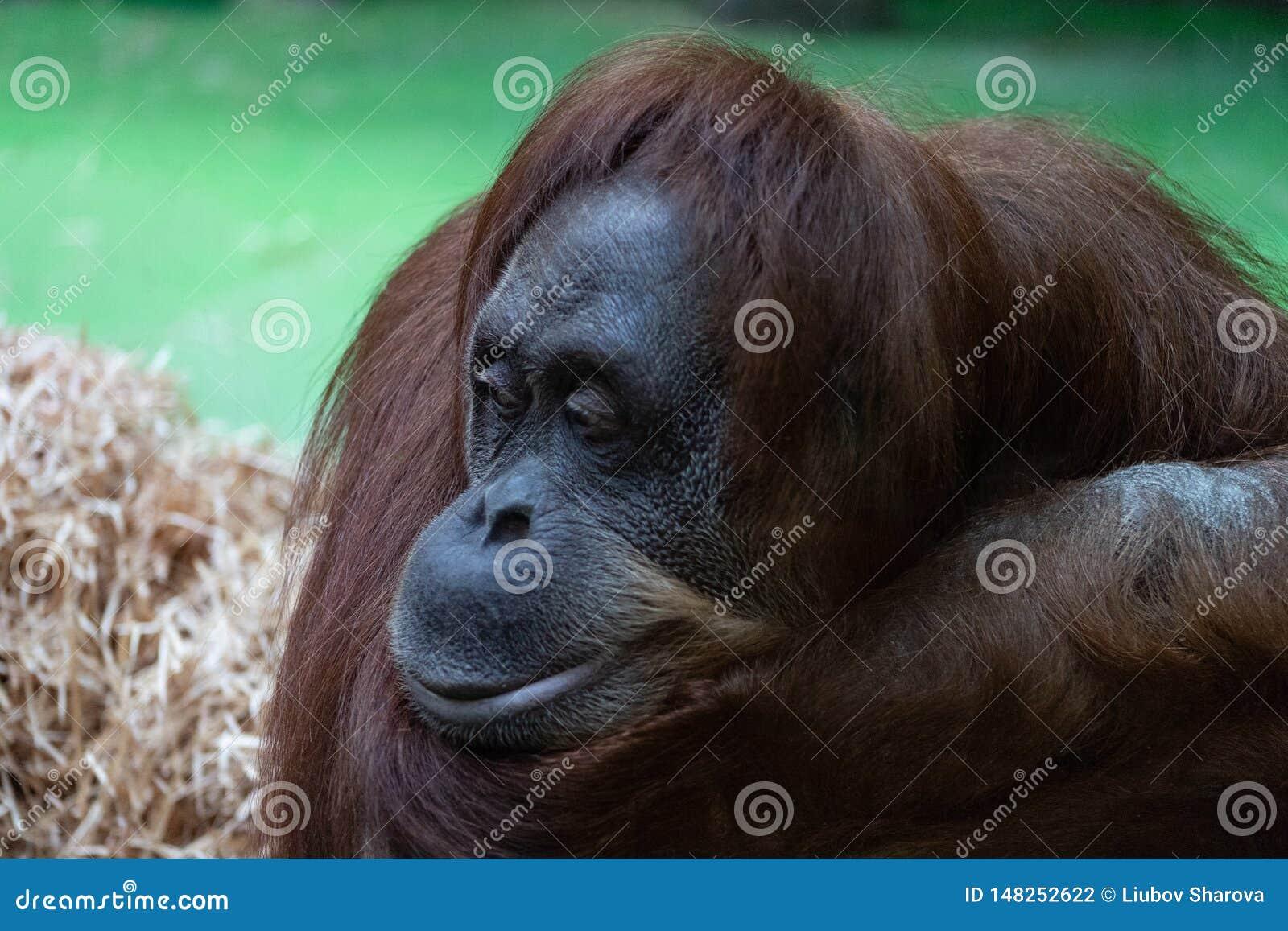 Retrato de um orangotango alaranjado pensativo com uma cara engraçada que olha preguiçosamente o que está acontecendo