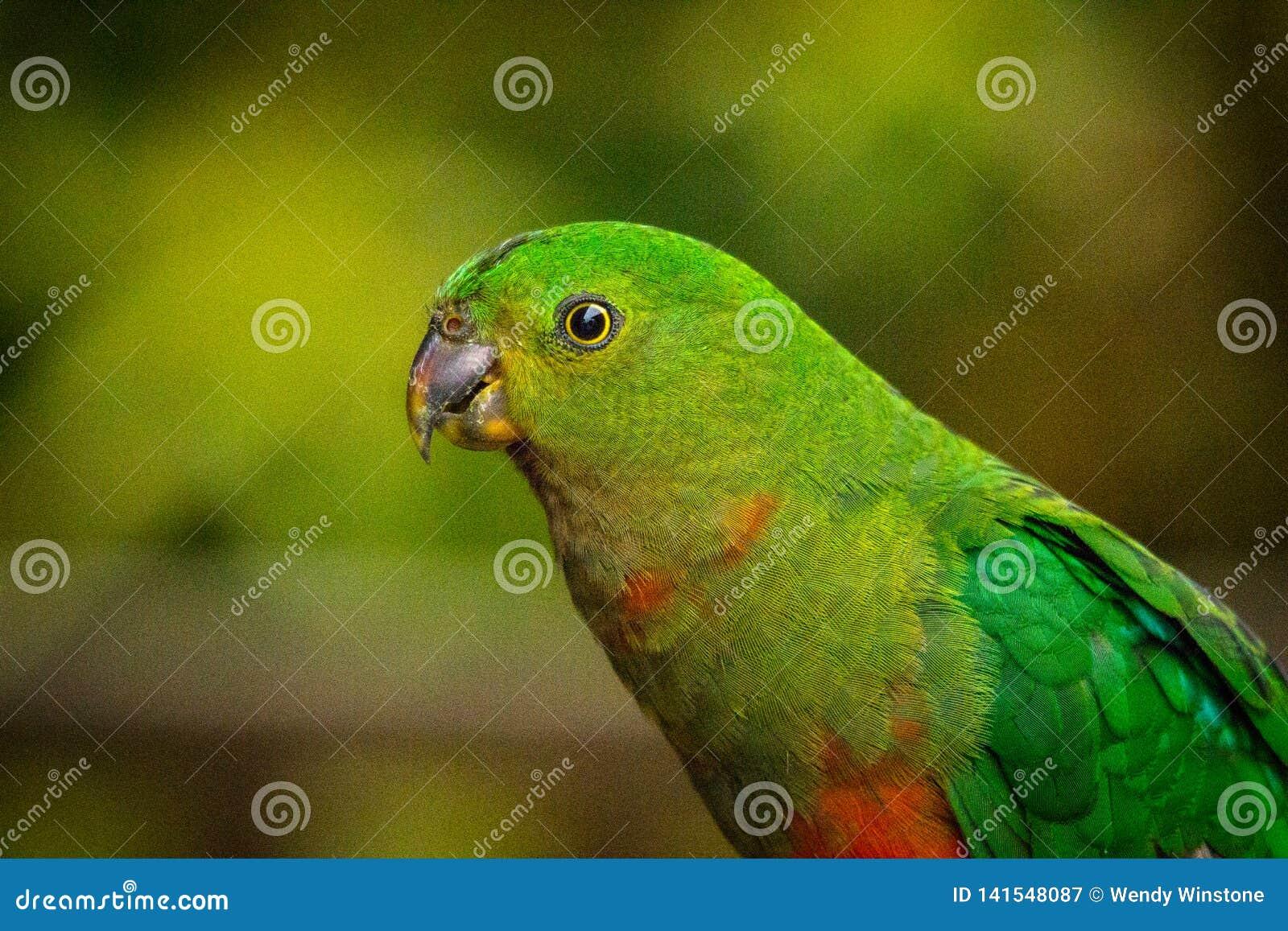 Retrato de um papagaio fêmea do rei