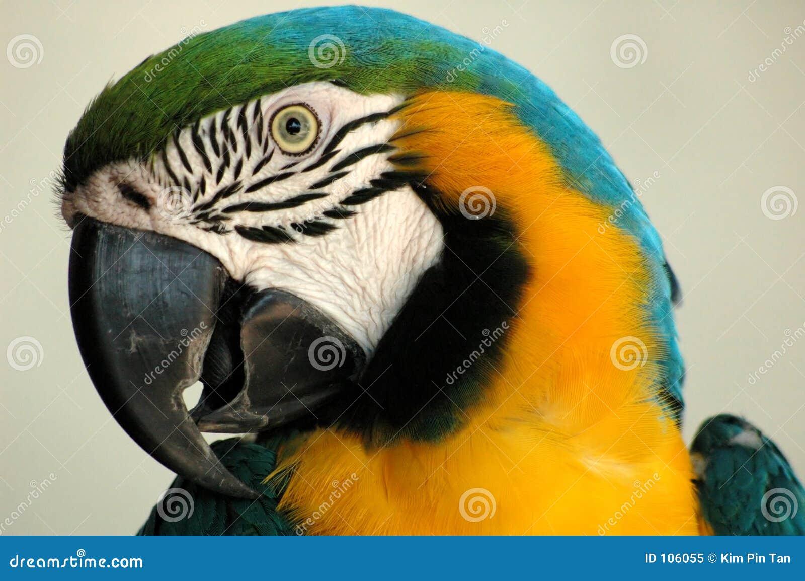 Retrato de um parot colorido