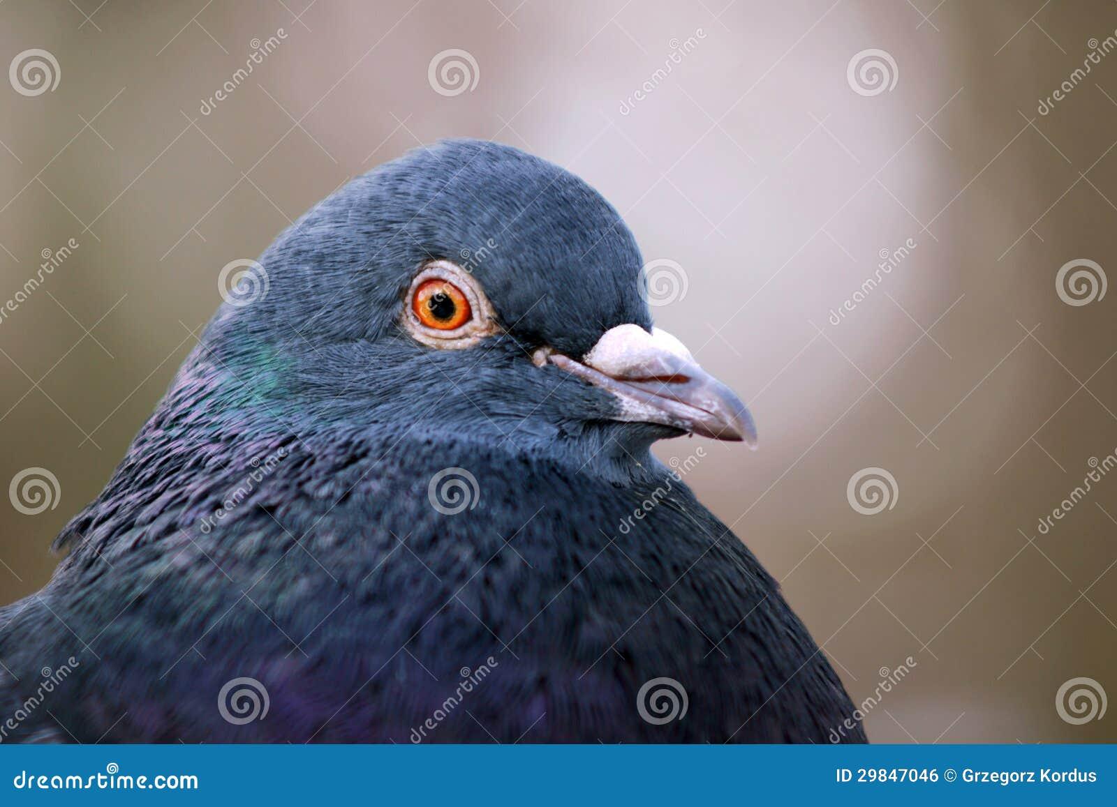Retrato de um pombo cinzento