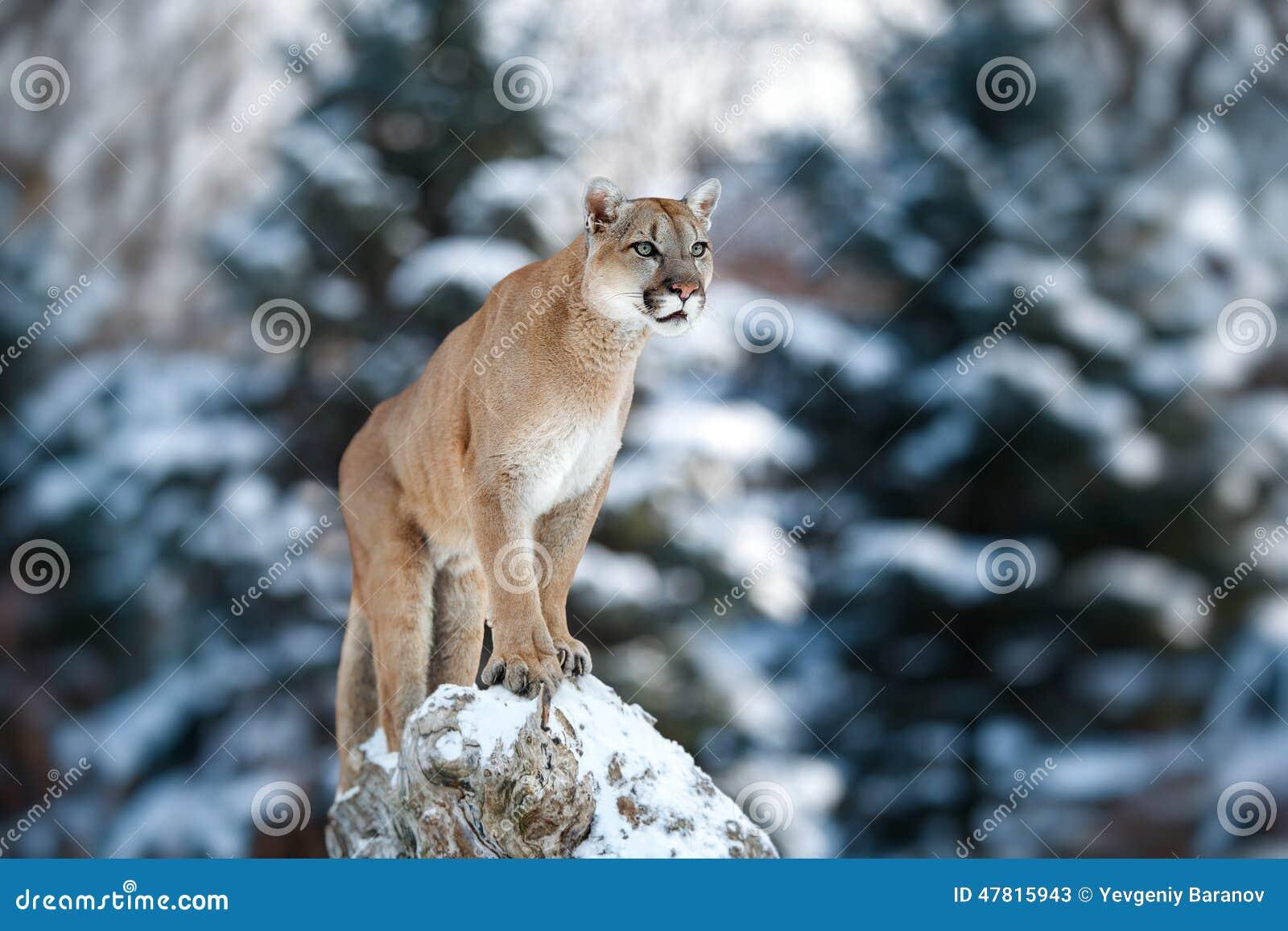 Retrato de um puma, leão de montanha, puma, pantera, golpeando um p