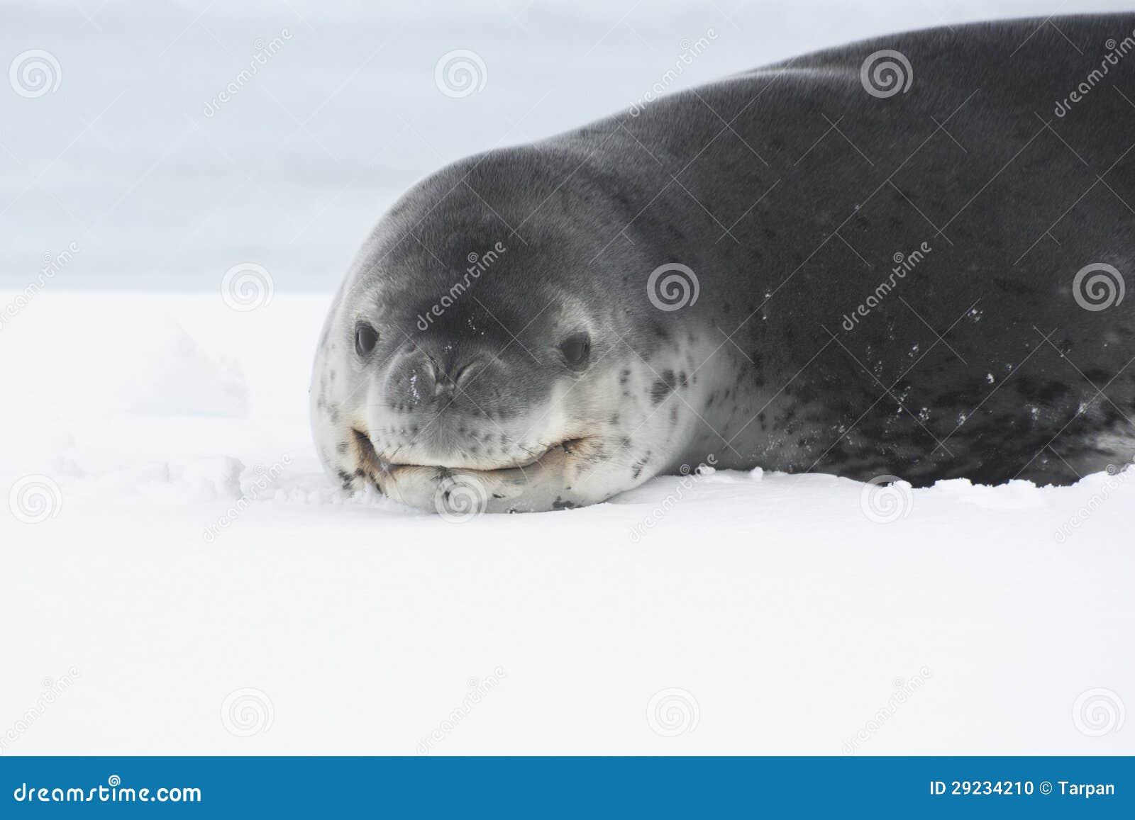 Download Retrato De Um Selo Do Leopardo Que Encontra-se No Gelo Na Antártica. Foto de Stock - Imagem de frio, antarctica: 29234210