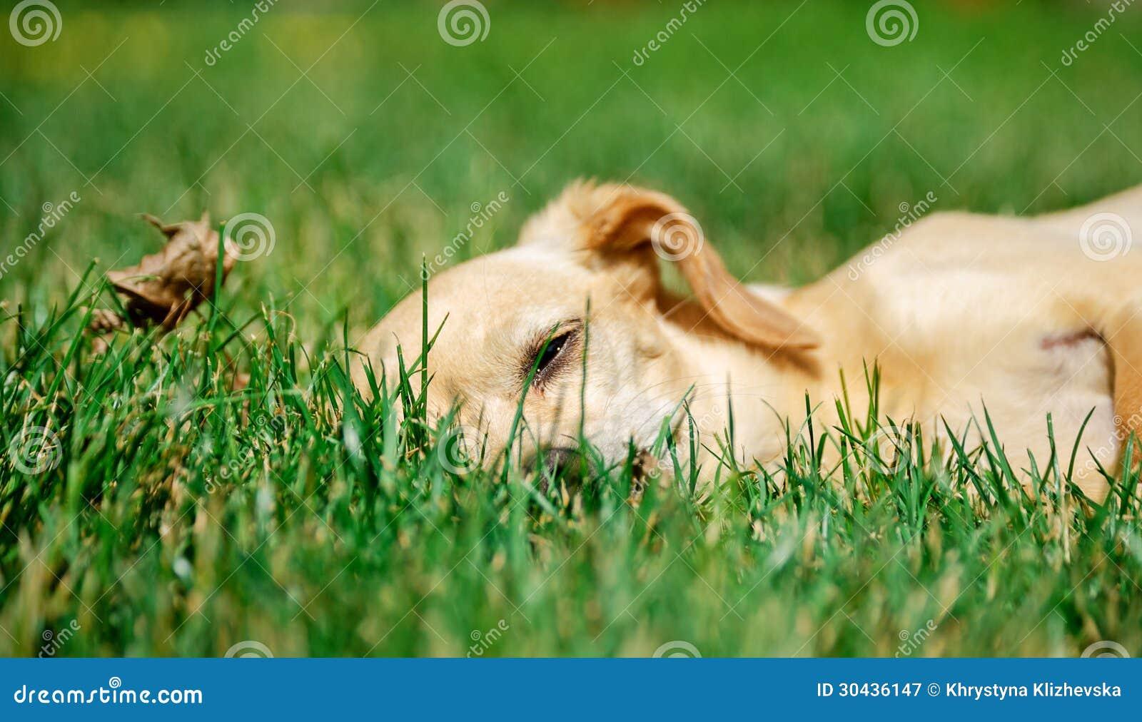 Retrato de um terrier de brinquedo