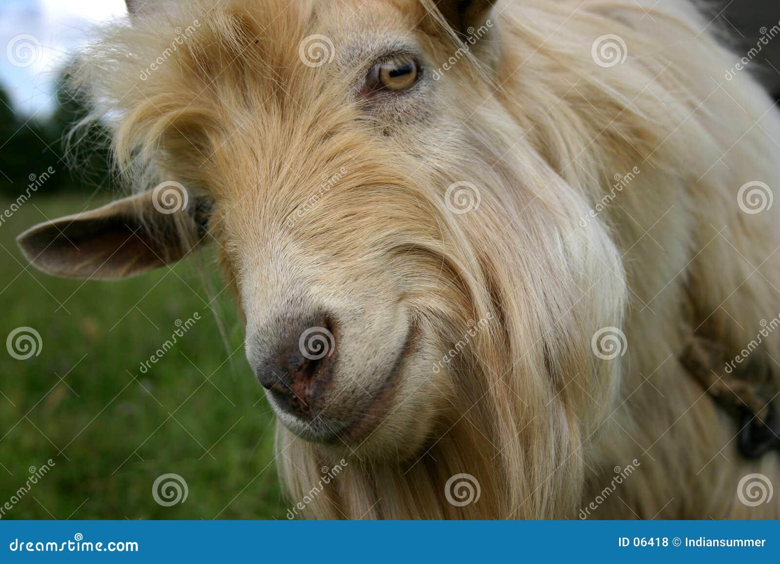 Retrato de uma cabra