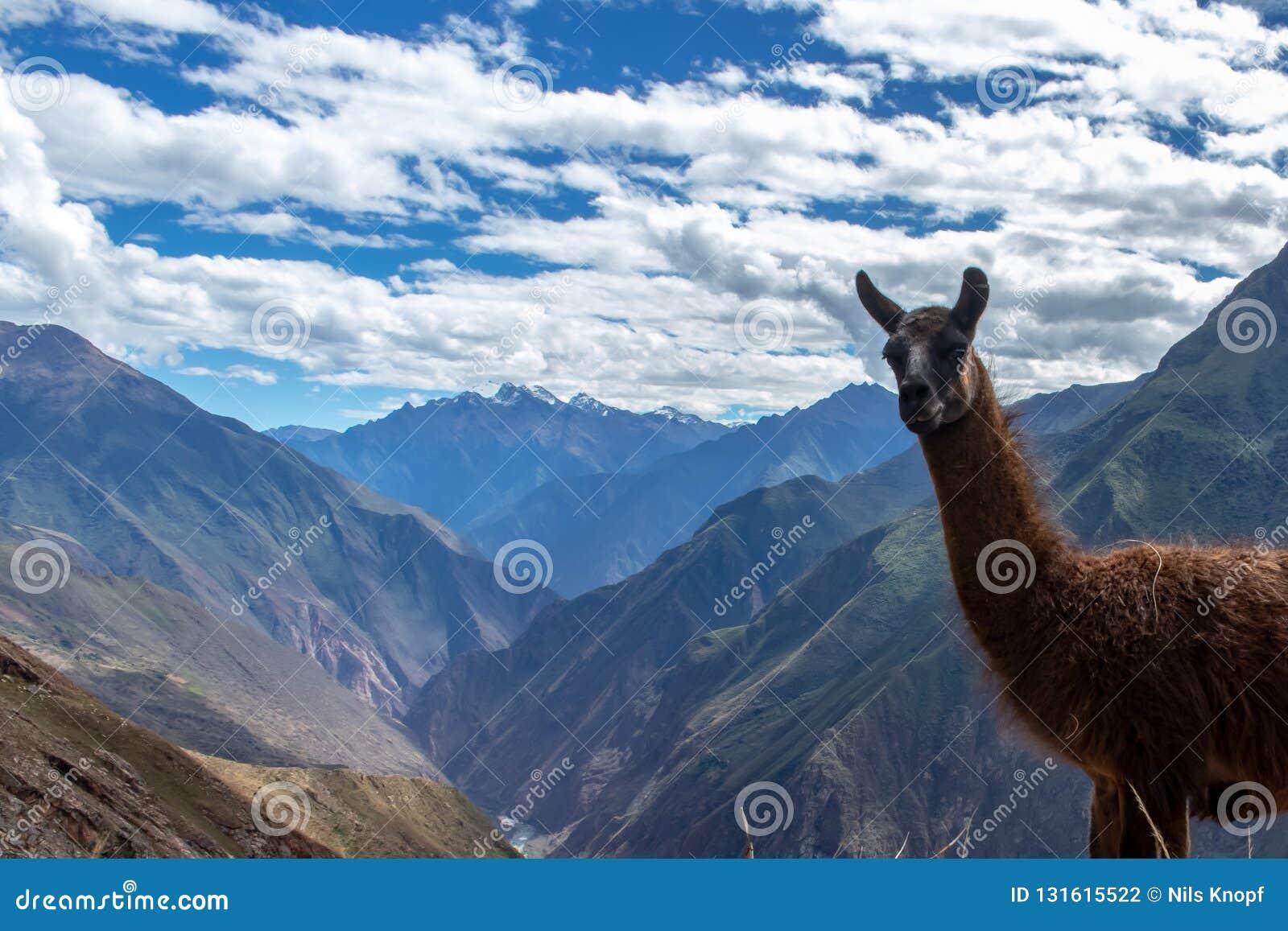 Retrato de uma Lama marrom nas montanhas de Andes, Peru